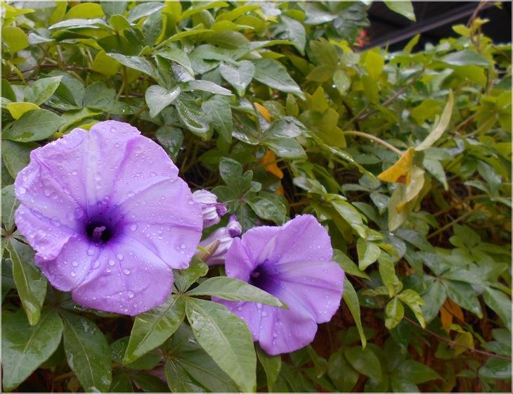 flowering pondy