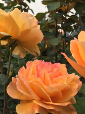 International Rose Test Garden 5
