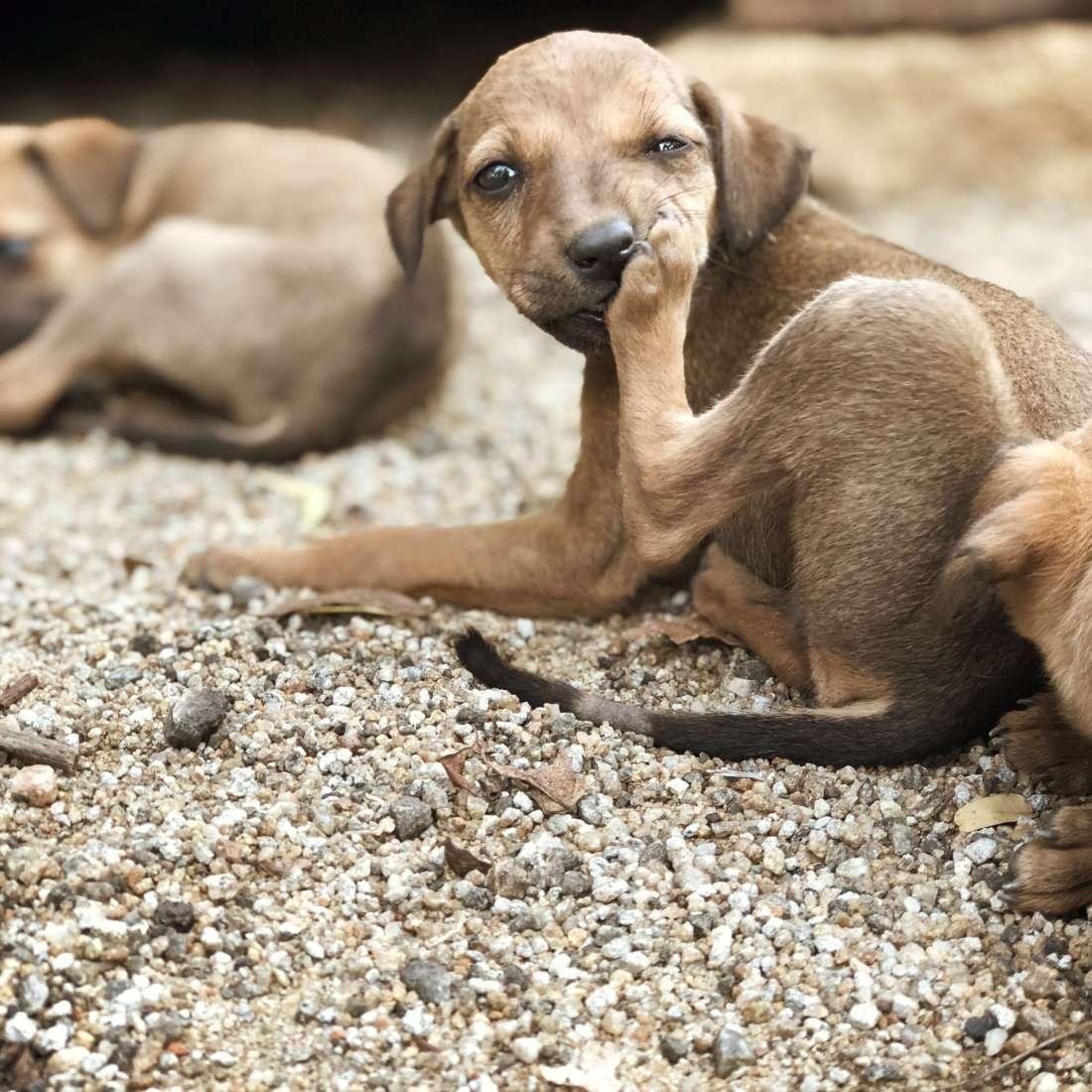 Puppies, Ambasamudram, South India