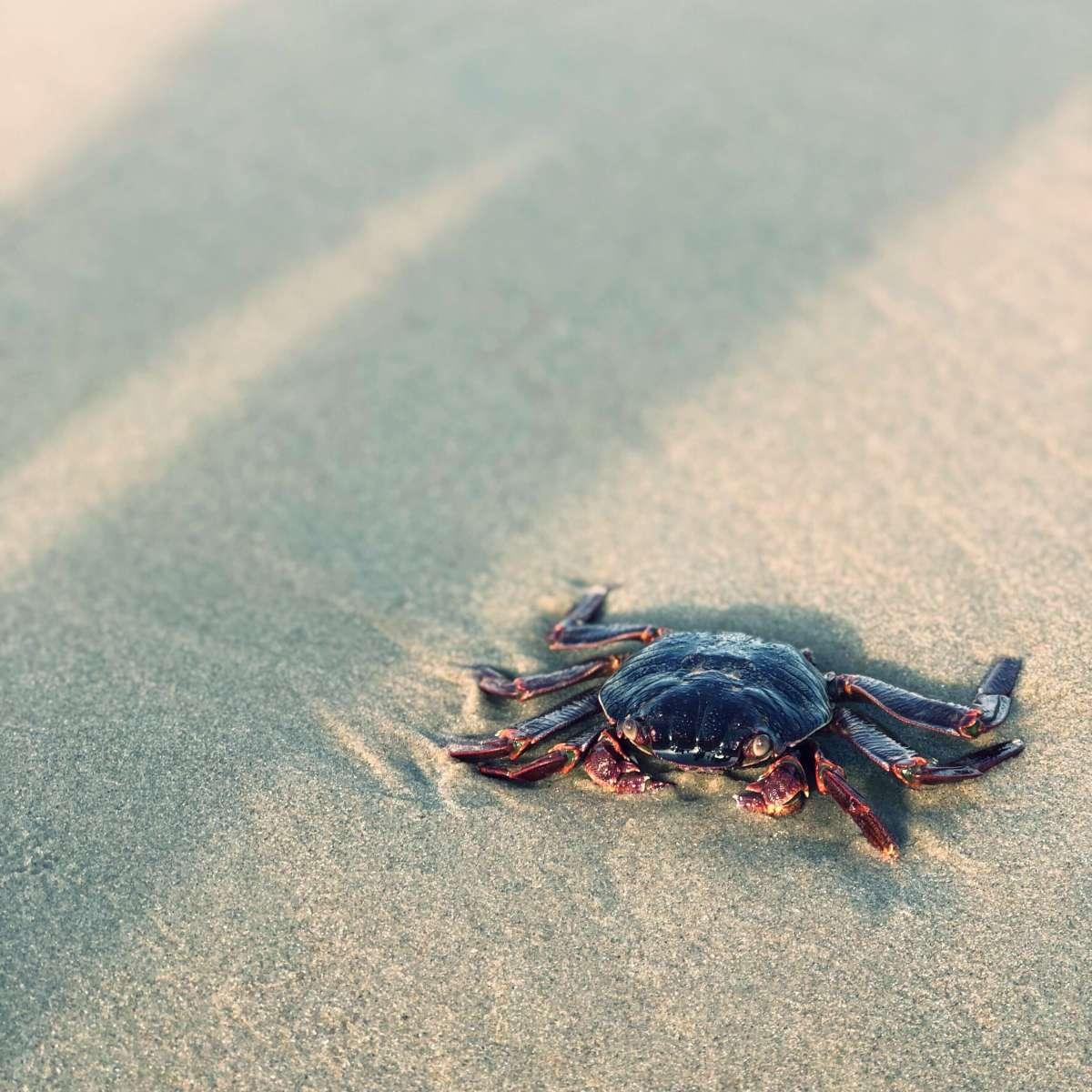 Dead crab at the Varkala beach, Kerala, India