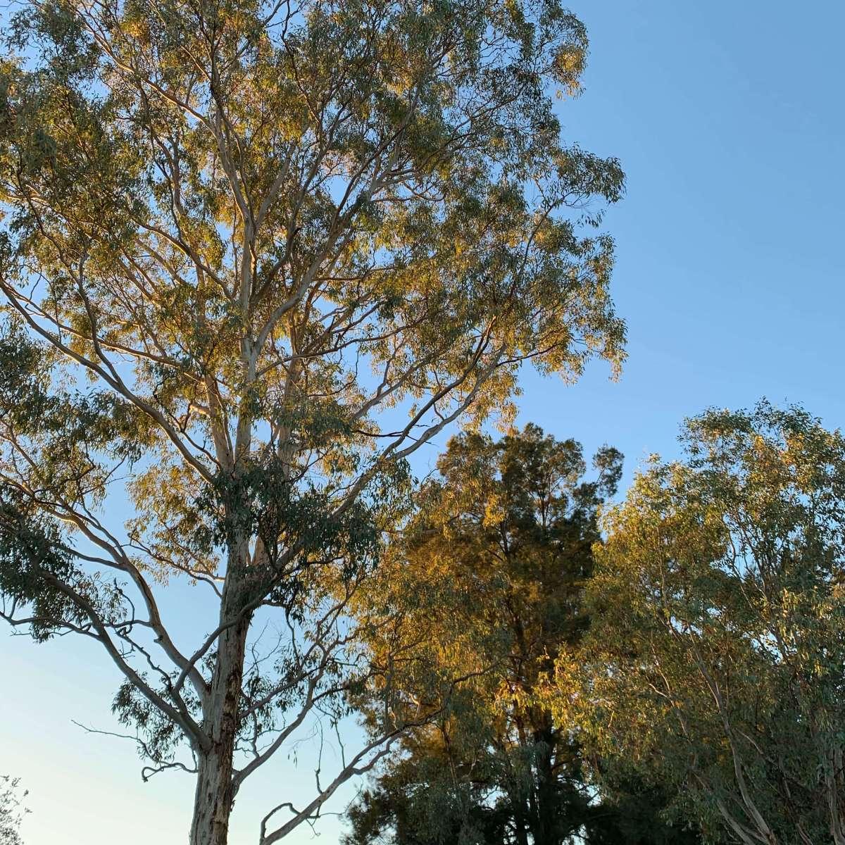 Sunkissed trees near Lake Ginninderra, Canberra