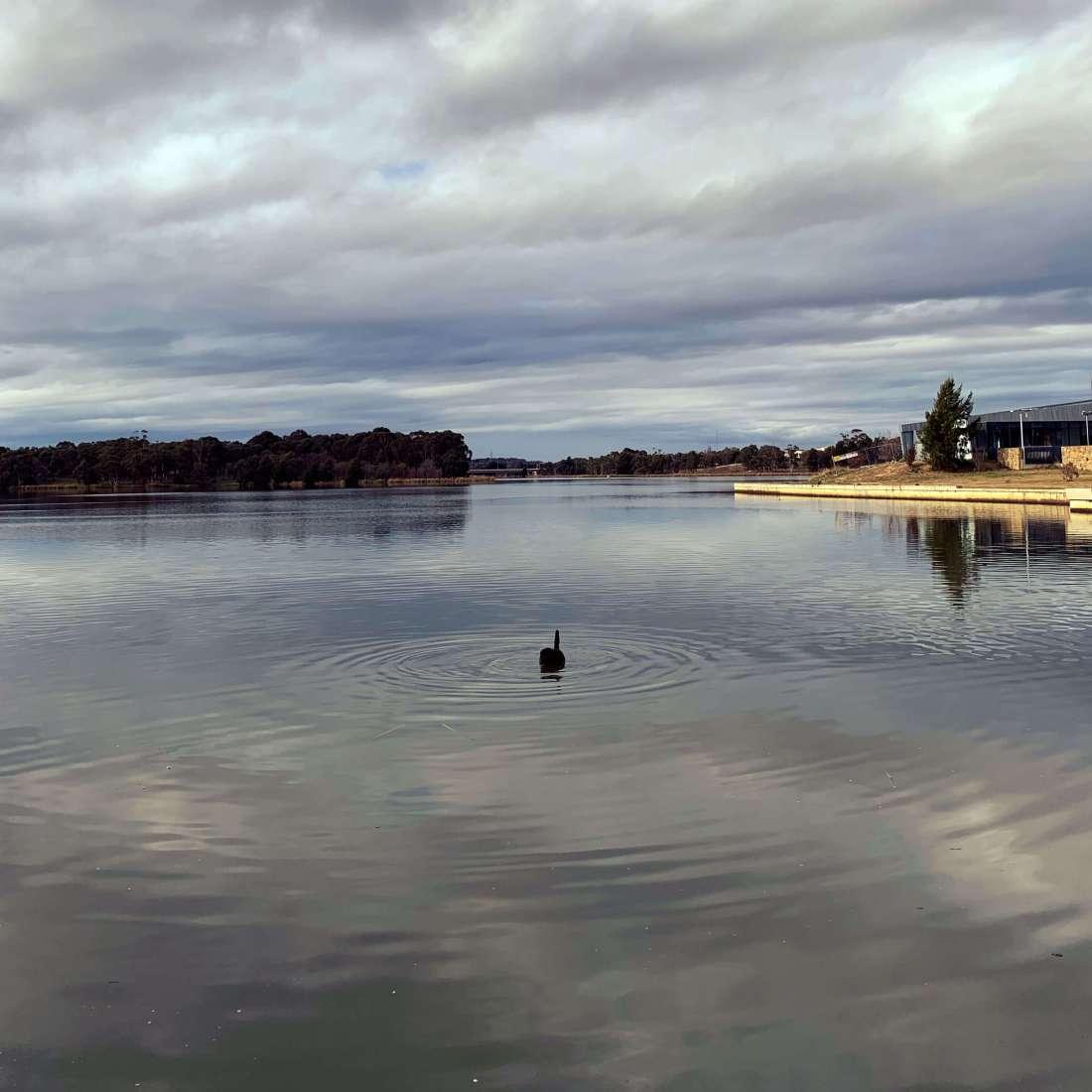 Lone swan, lake Ginninderra, Canberra