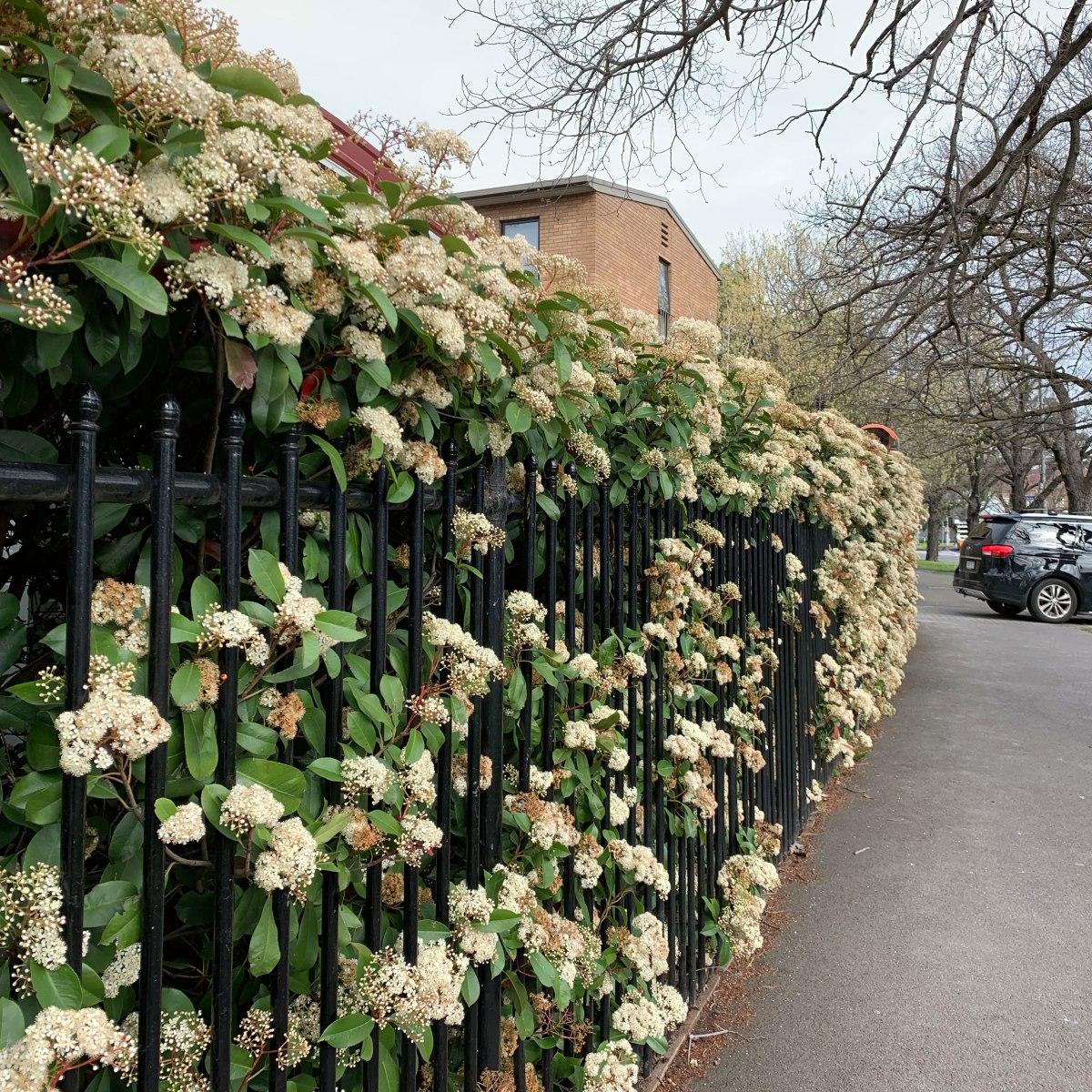 Spring flowers, Melbourne