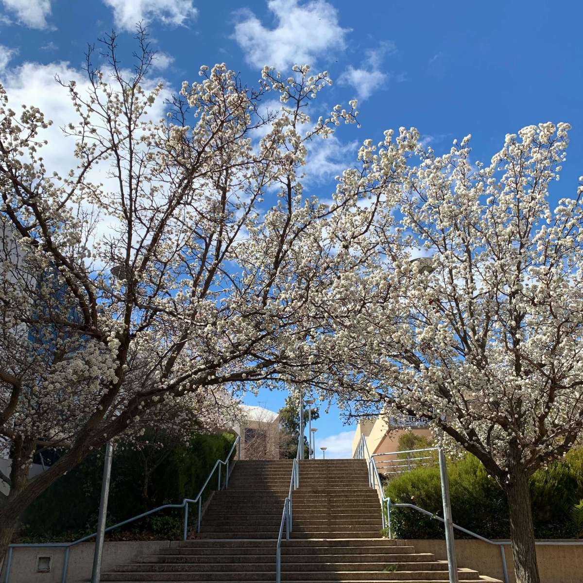 Flowers in springtime, Canberra, Australia