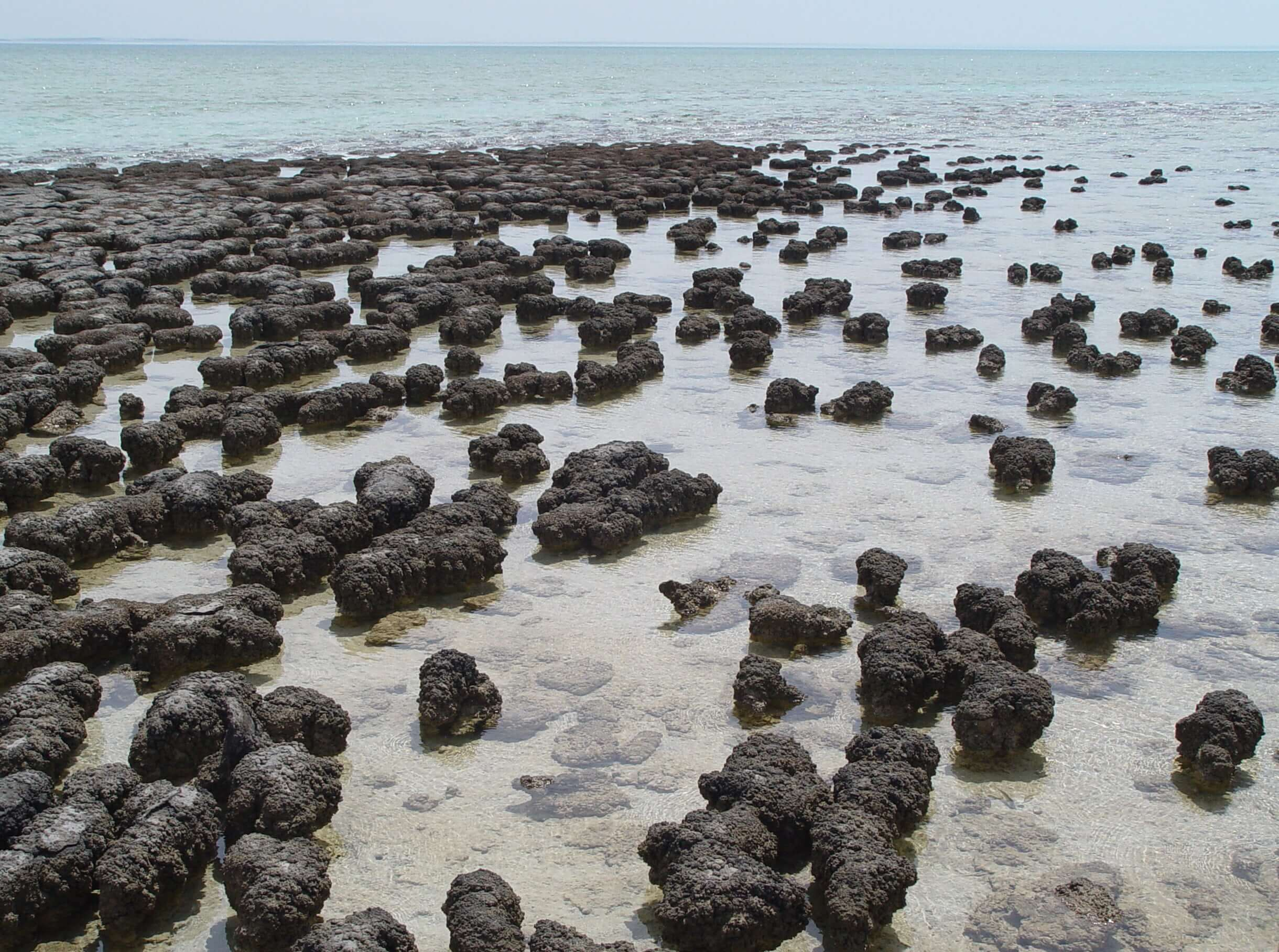 Stromatolites in Shark Bay, Western Australia - Photo source: Wikipedia