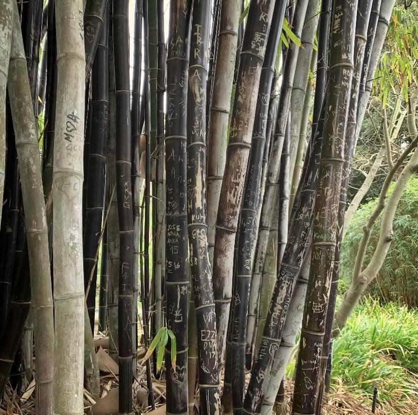 Bamboo trees at the Royal Botanical Gardens, Sydney