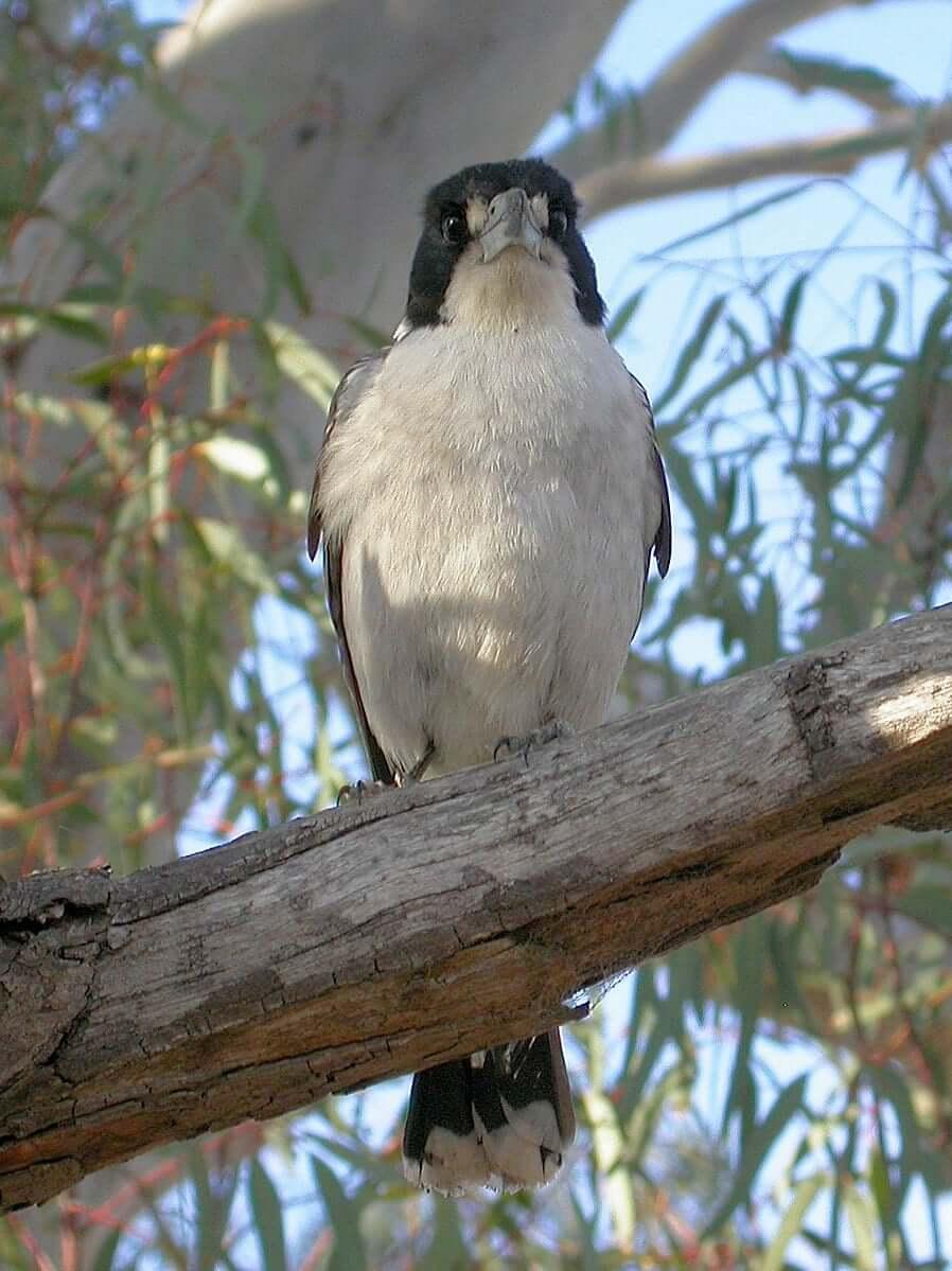 The Grey Butcherbird of Australia