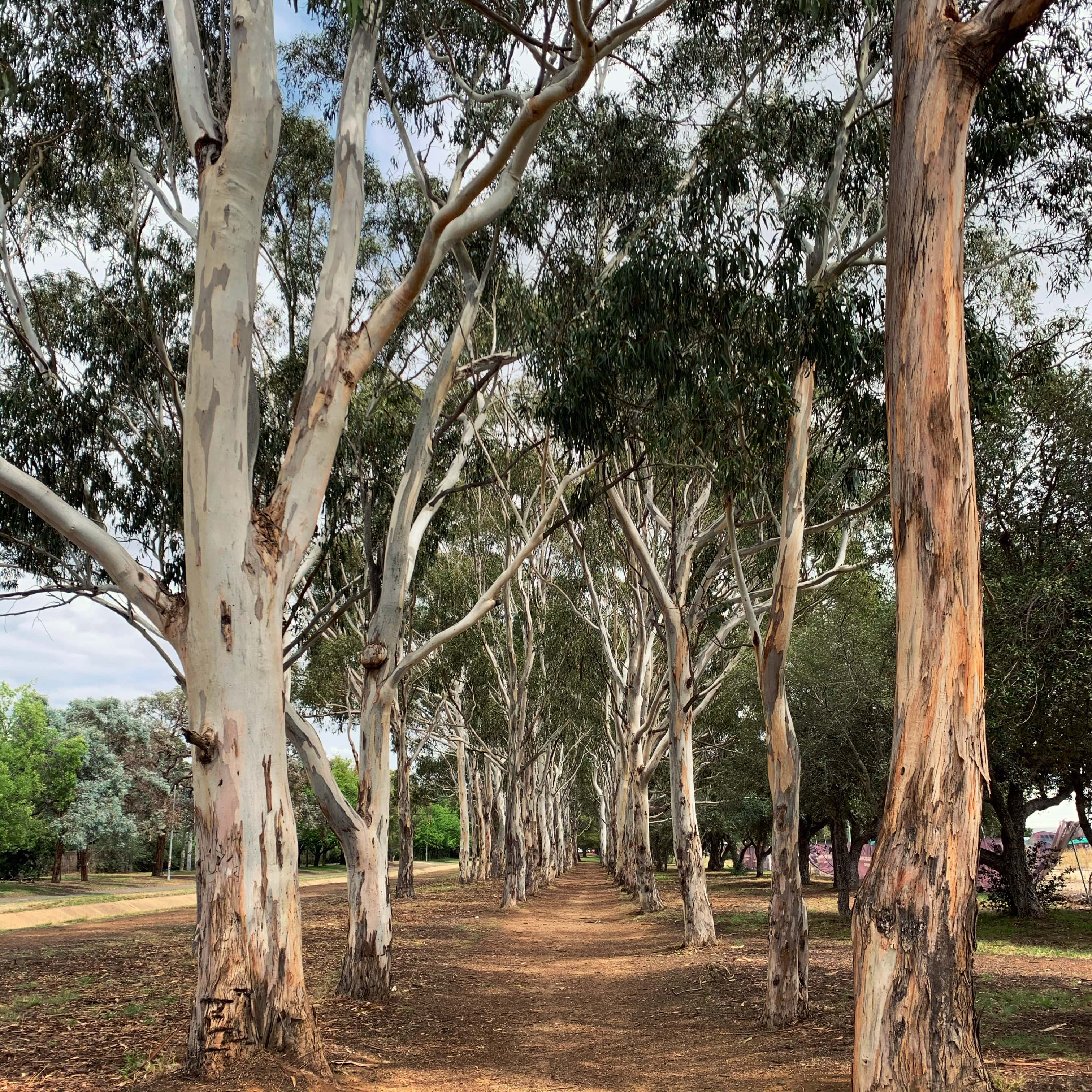 Eucalyptus trees, Canberra
