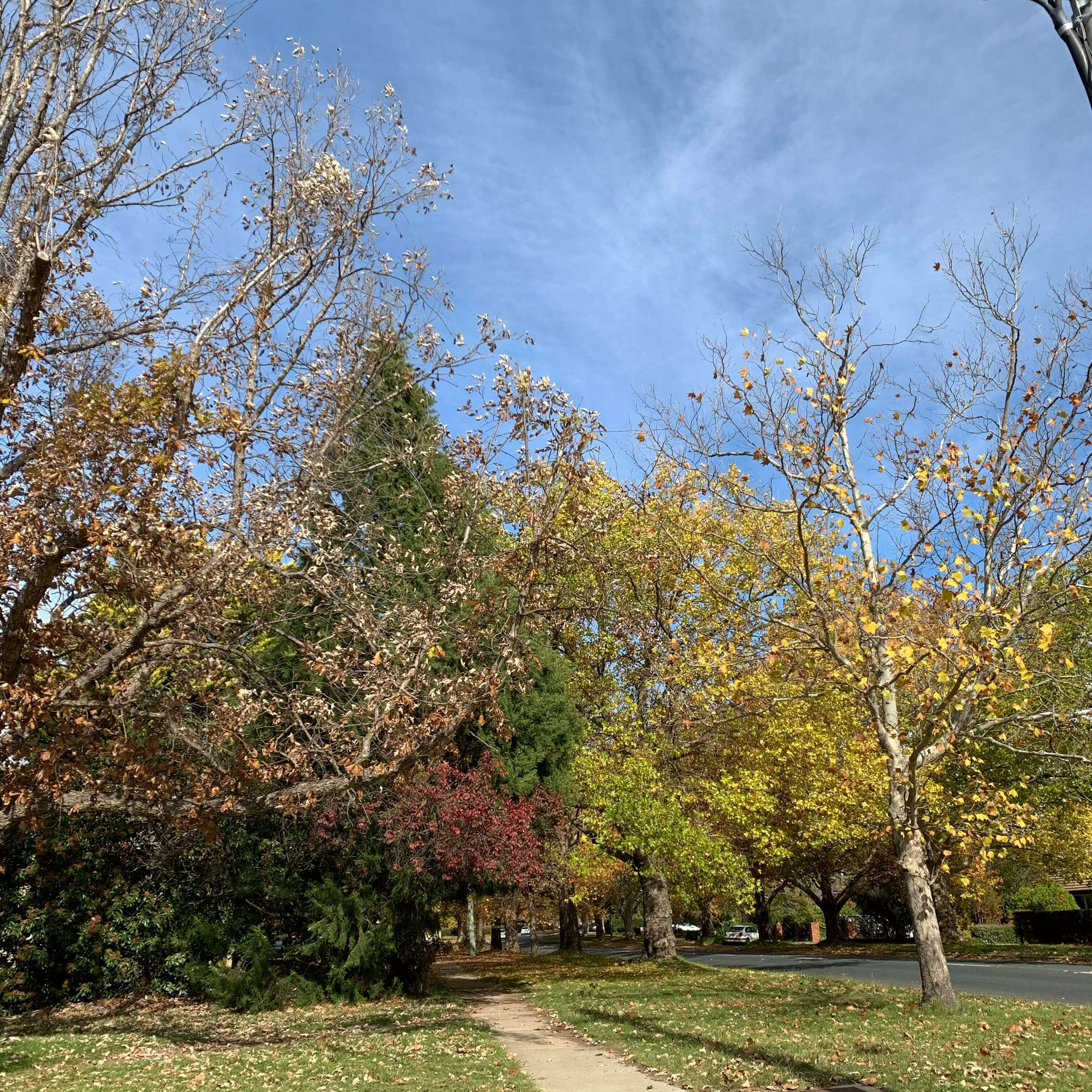 Autumn trees, Canberra
