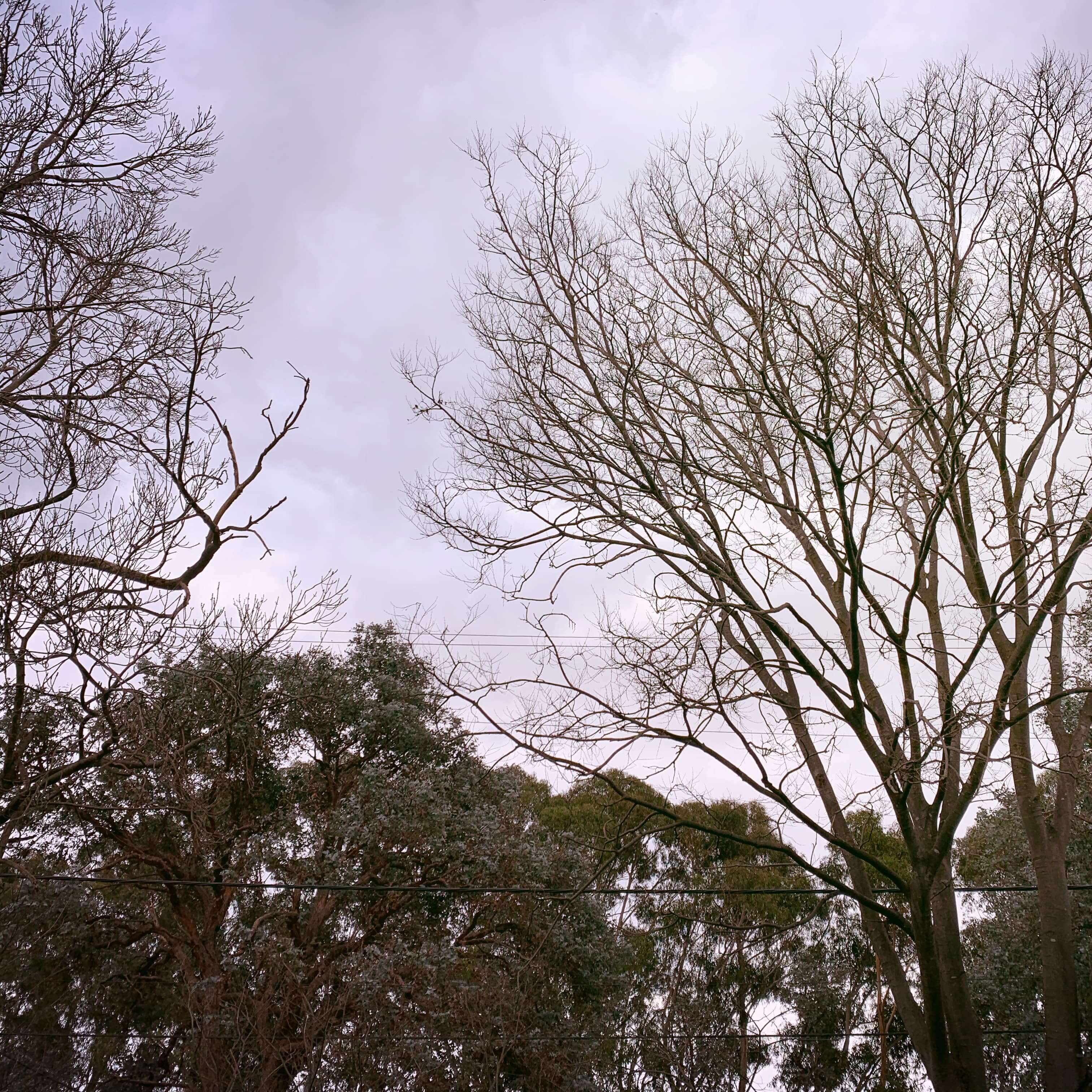 Trees in winter, Canberra