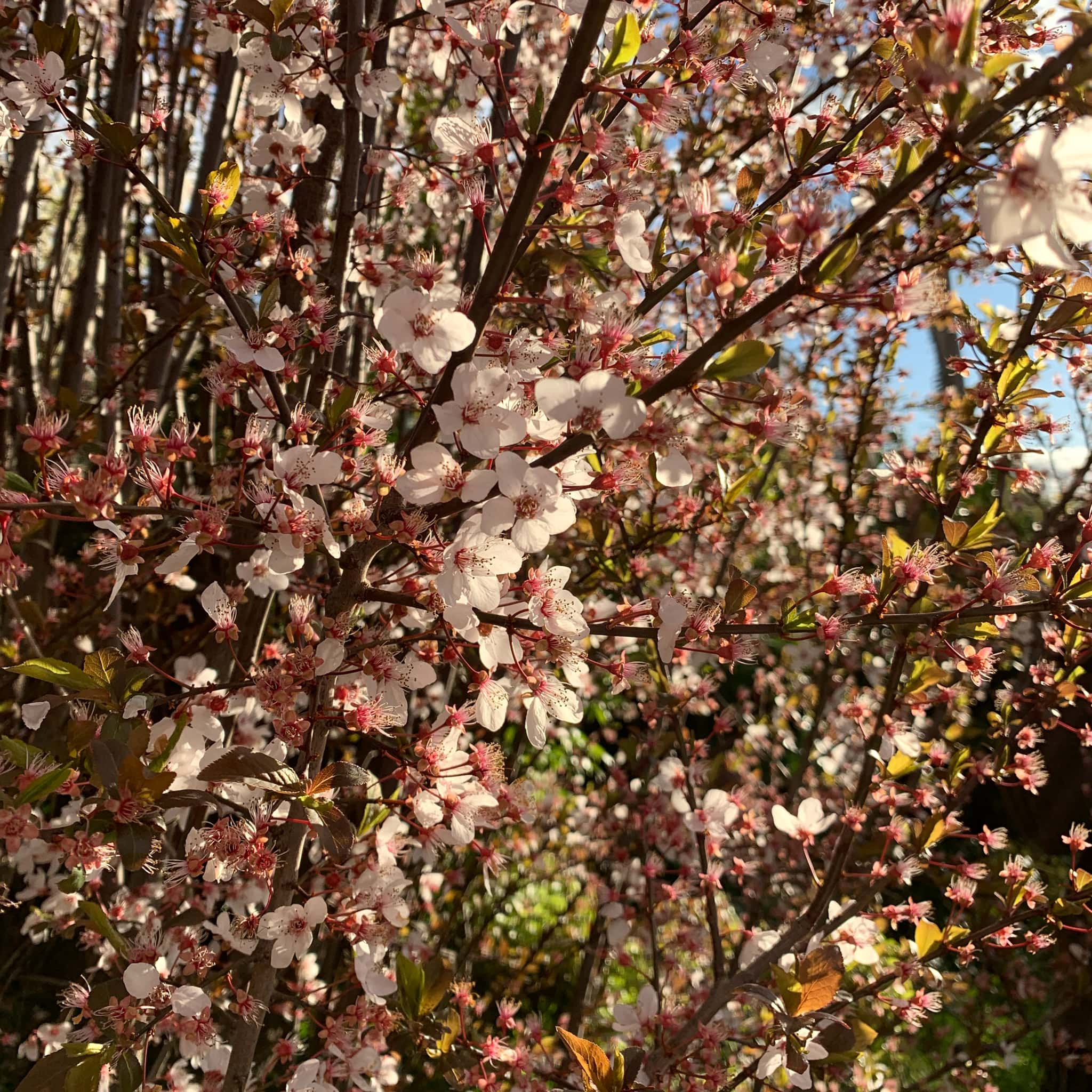 Cherry blossoms in spring time, Canberra