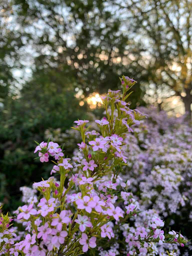 Spring blossoms, Canberra