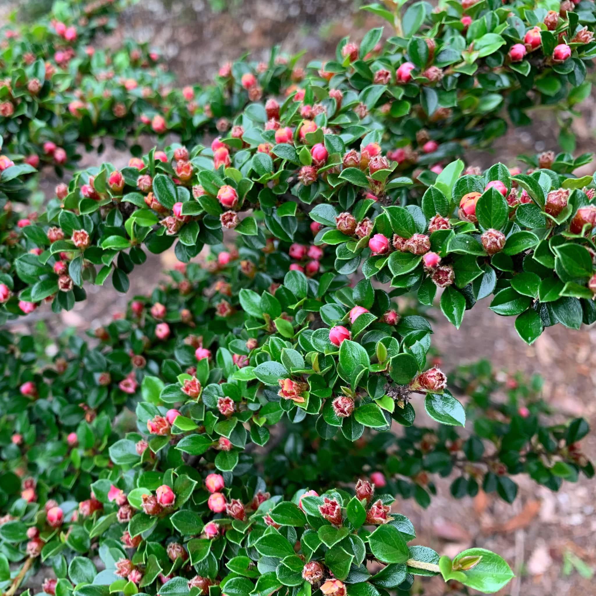Spring buds, Canberra