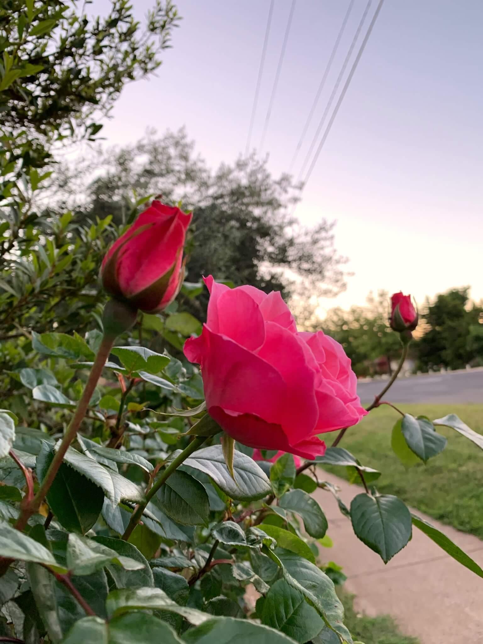 Spring roses, Canberra