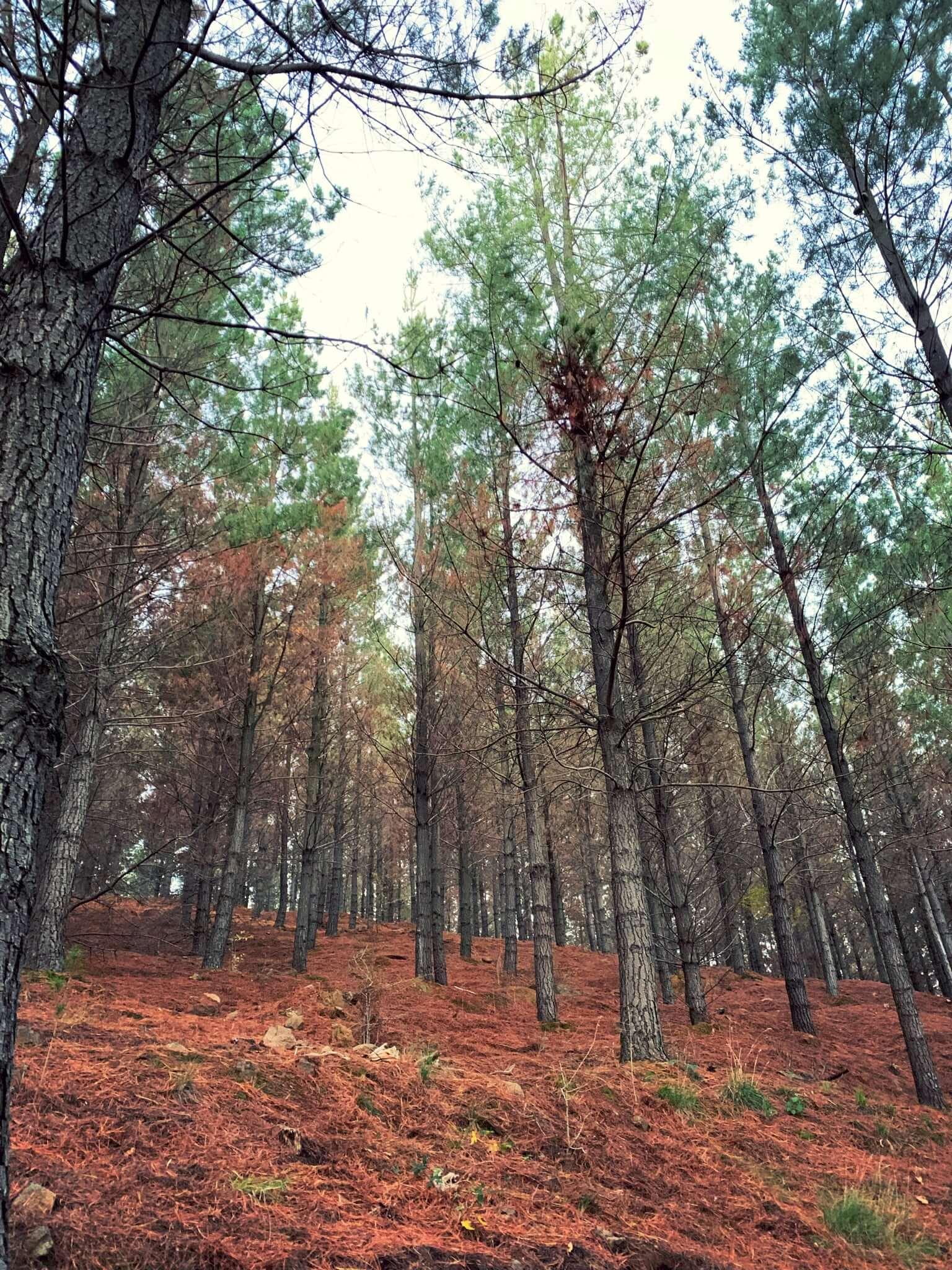 Pine forest, National Arboretum, Canberra