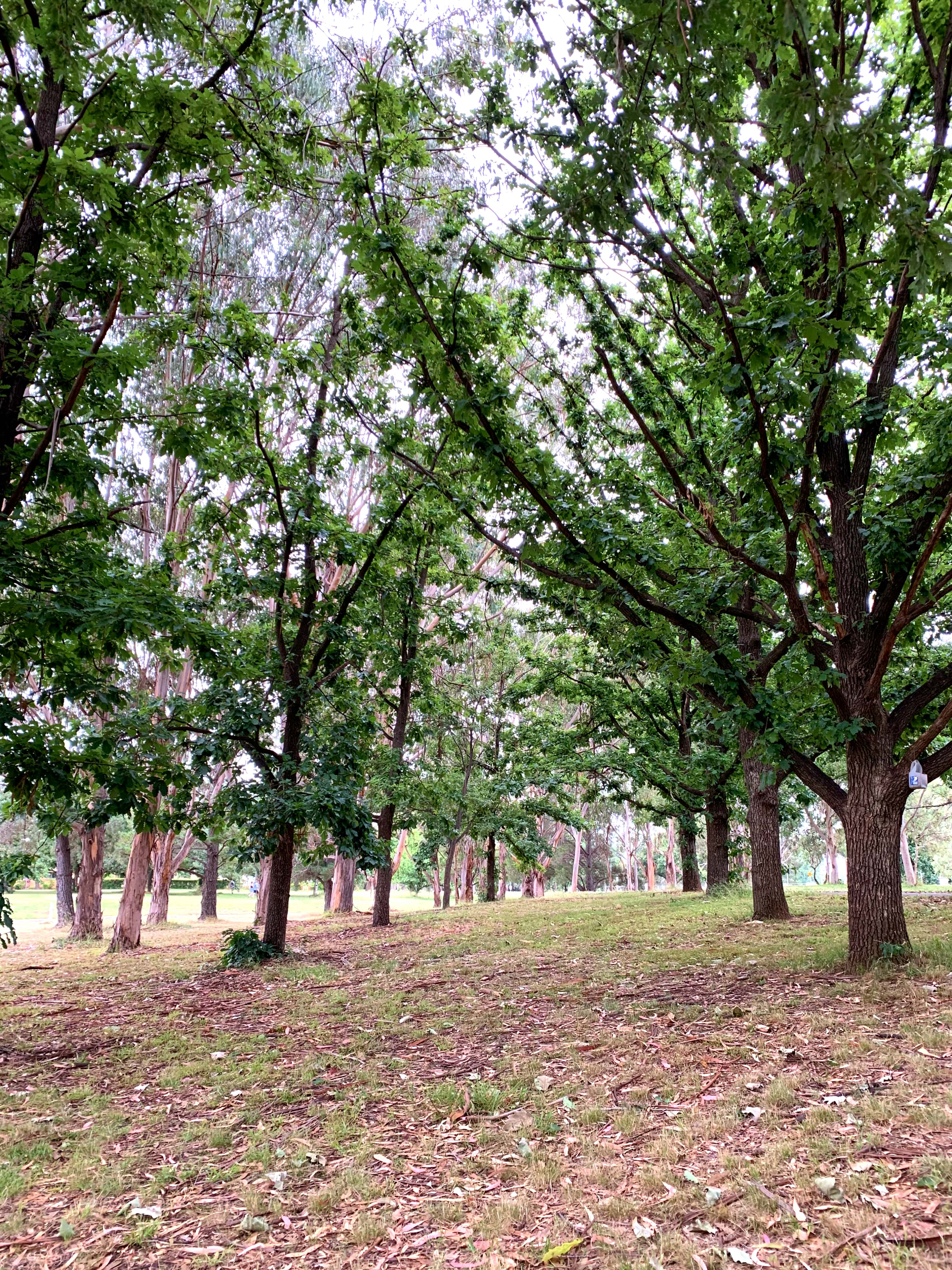 Footpath lined with trees, Canberra