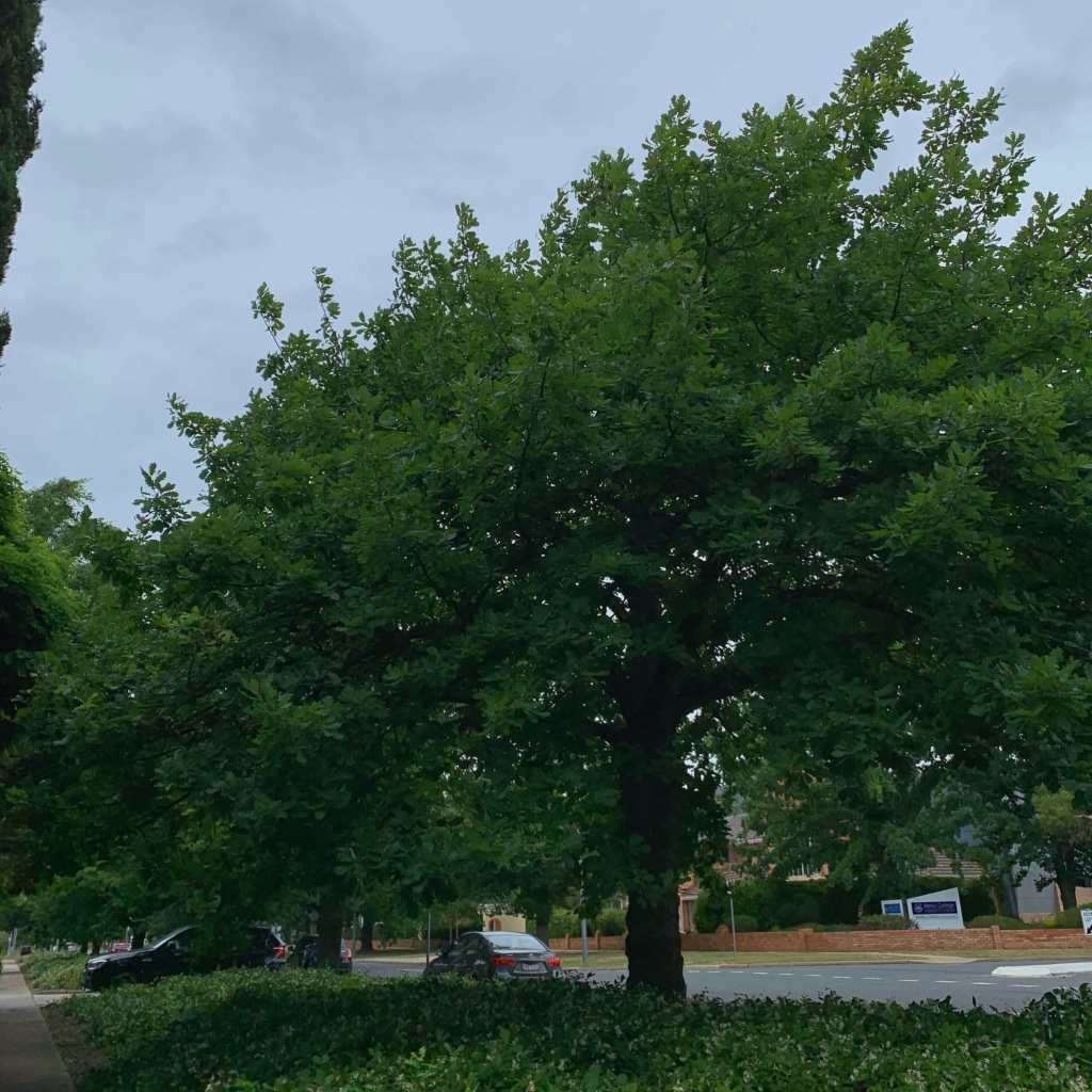 A big luscious tree, Canberra