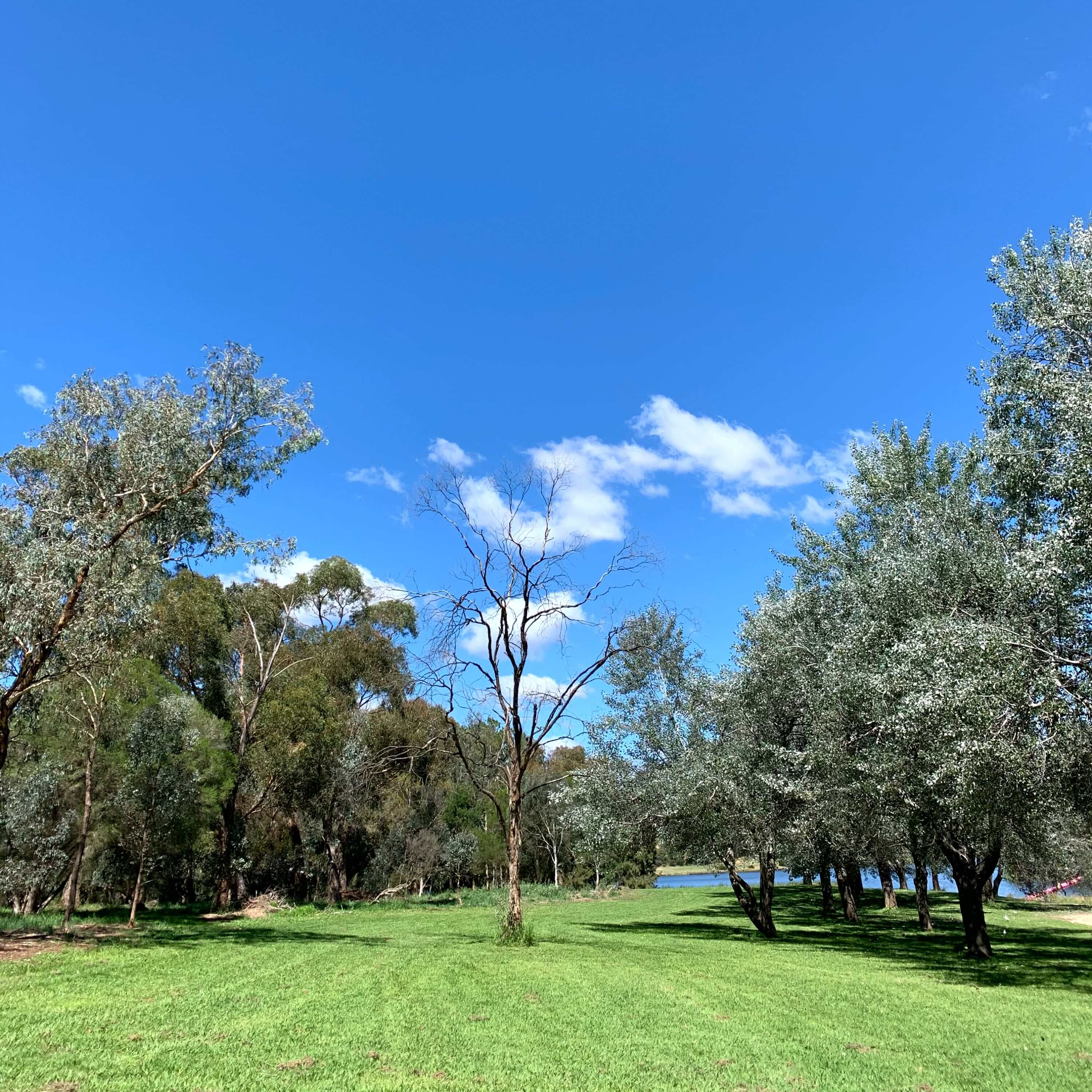 A leaf-less tree surrpounded by other types of trees, Canberra