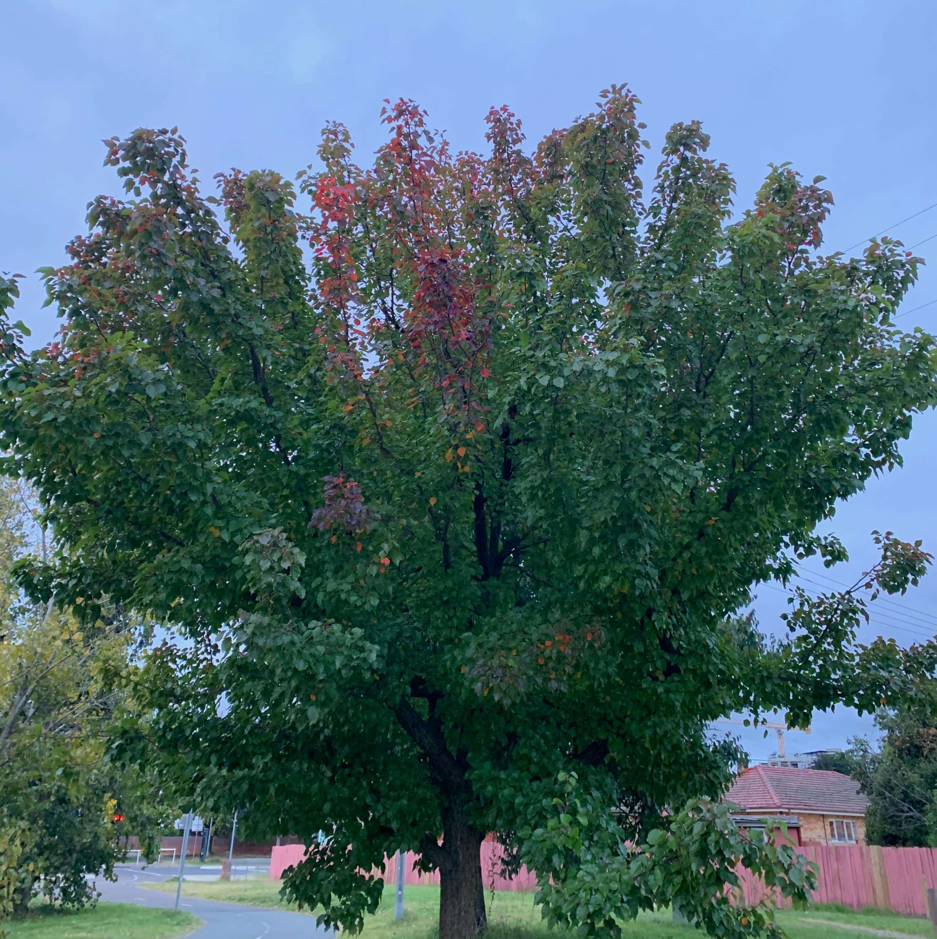 a few reddish leaves in an otherwise green tree, first few weeks of autumn, Canberra