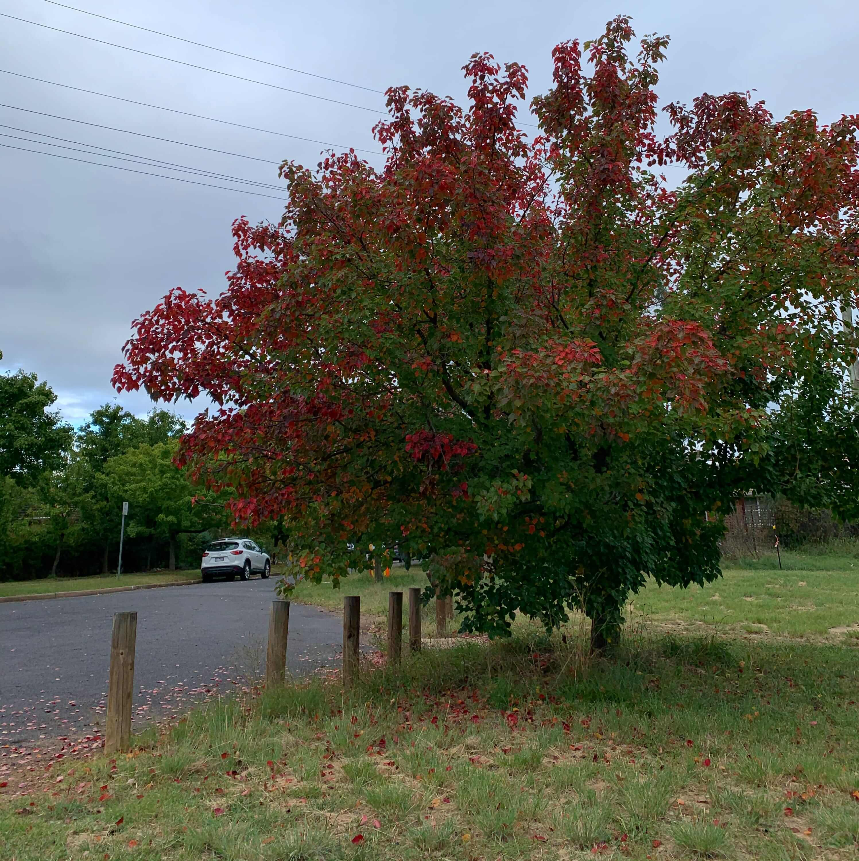 a tree with reddish leaves starting to appear, in the beginning of autumn, Canberra