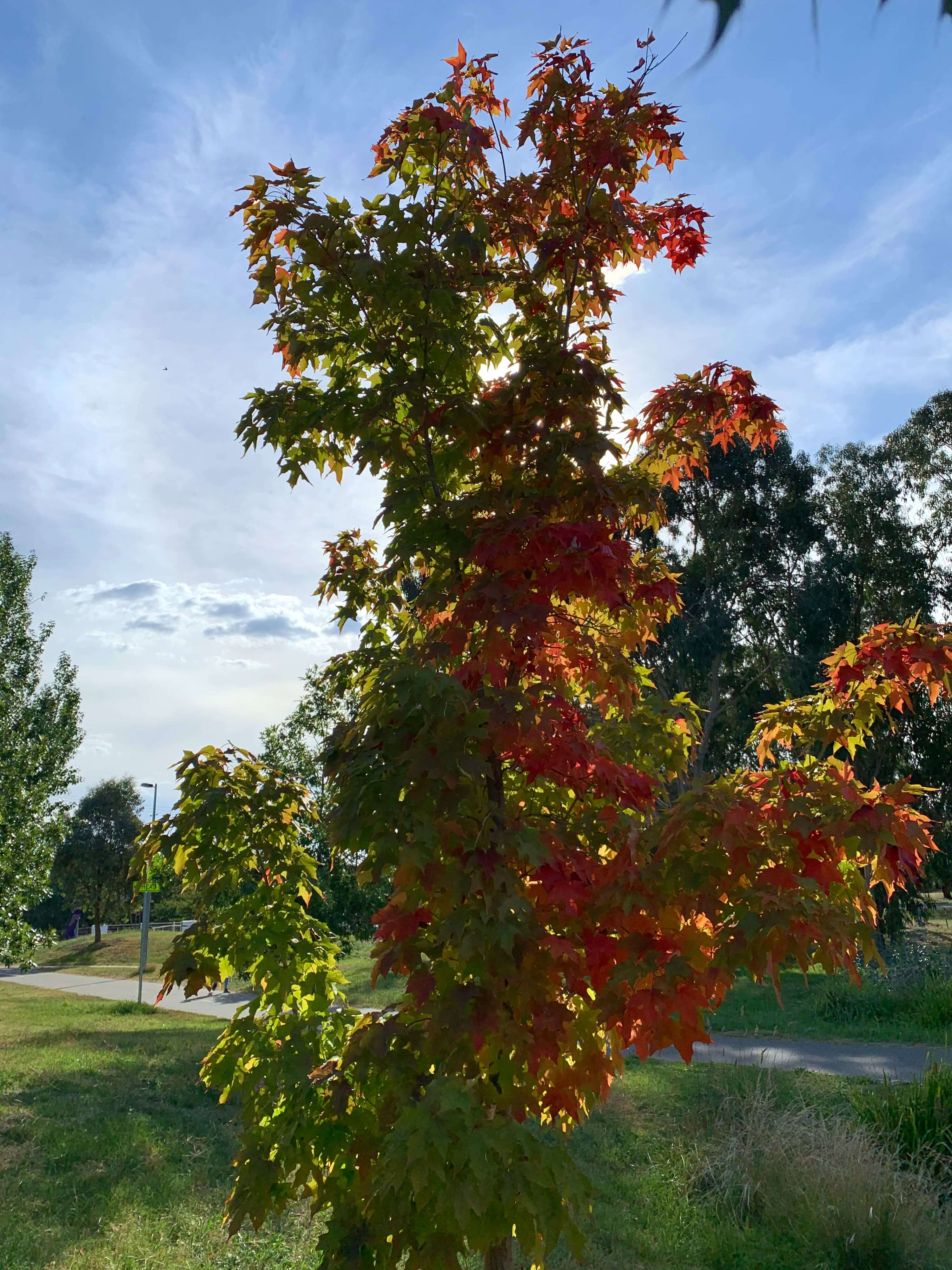 autumn sun shining through a small tree, the left side of the tree's leaves are green and the right gradually becoming reddish-brown, Canberra