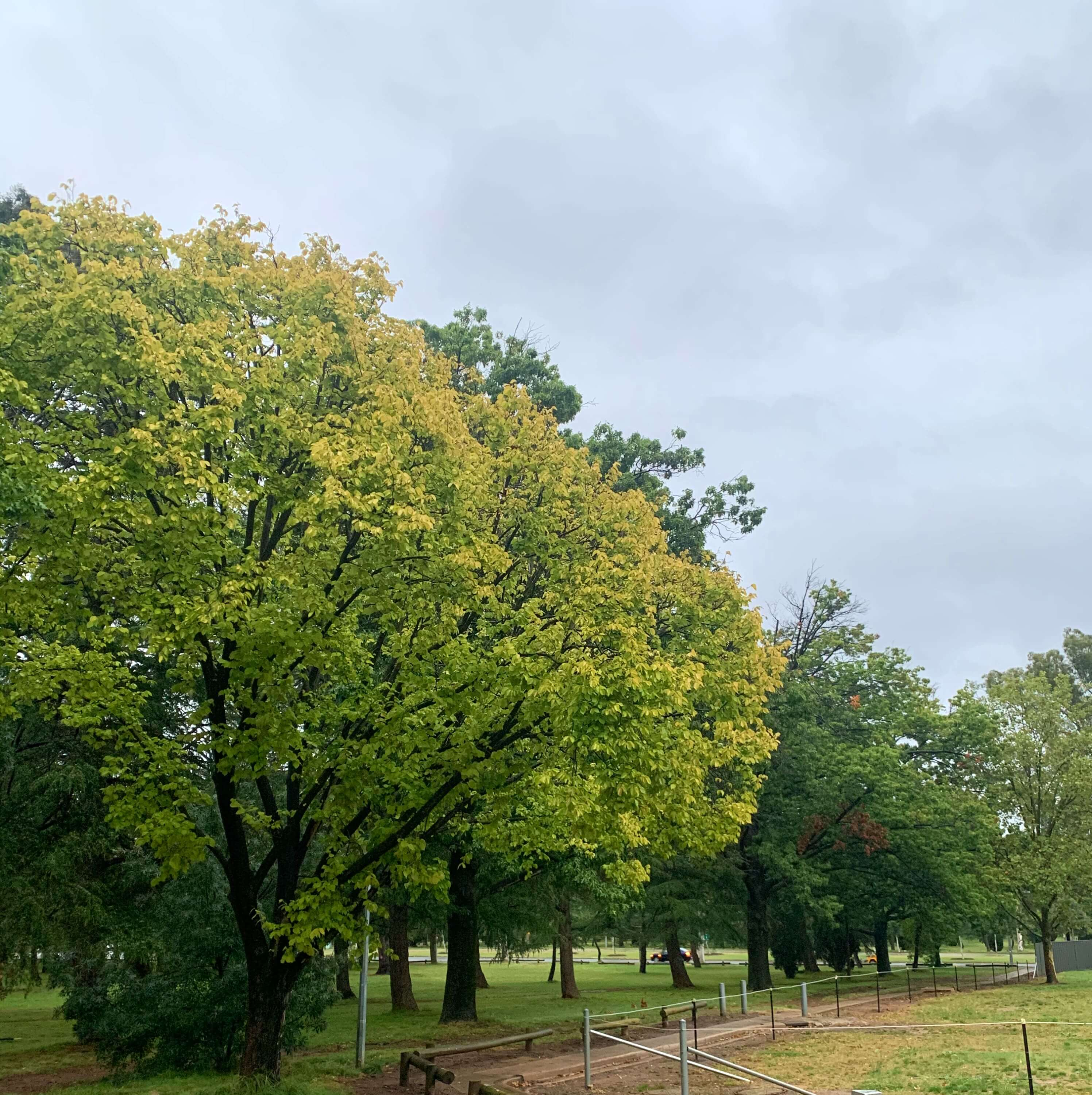 large trees by the foot path, the one in front has light green leaves and the others with darker green leaves