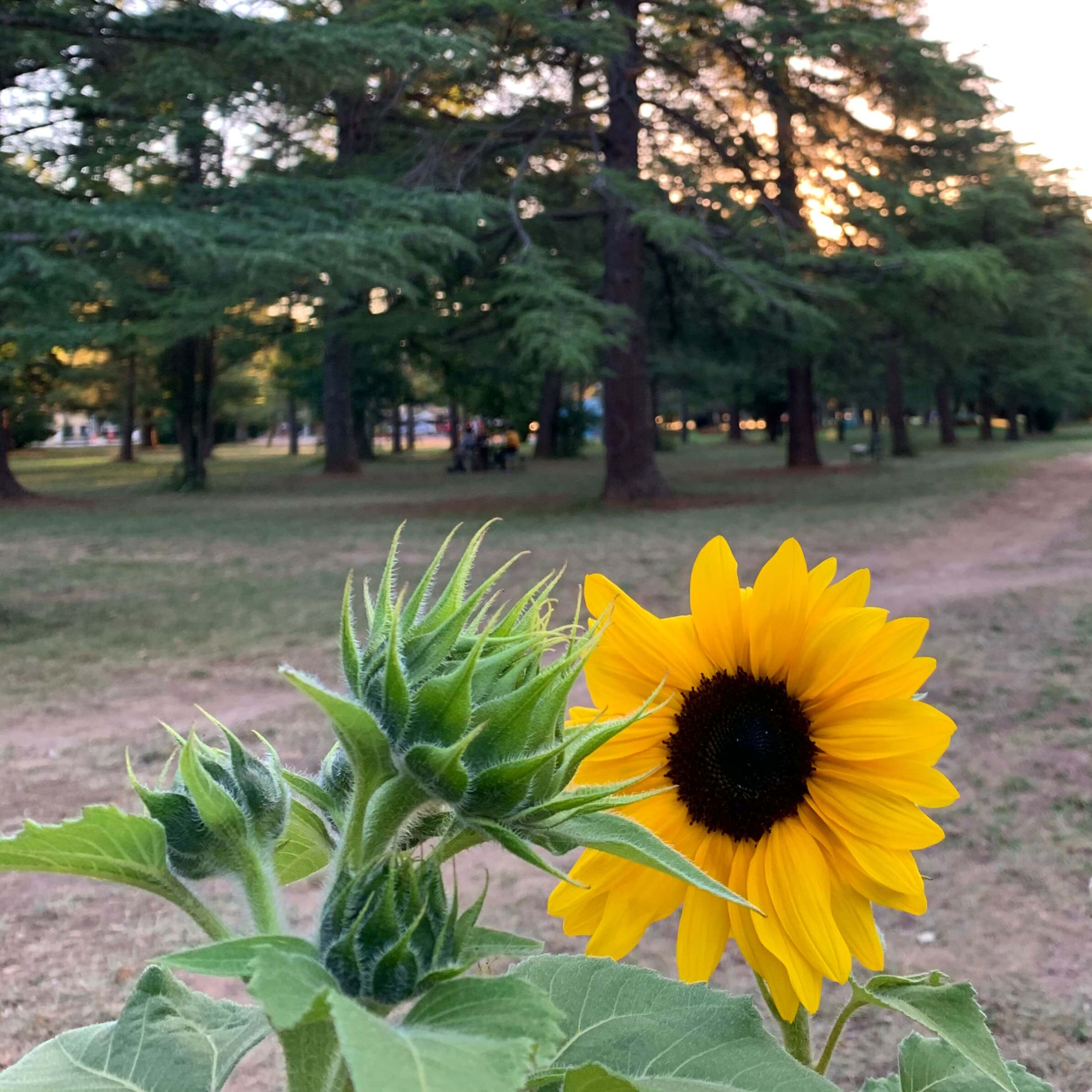 photo of a sunflower along with a bud, with the sunset in the background Canberra