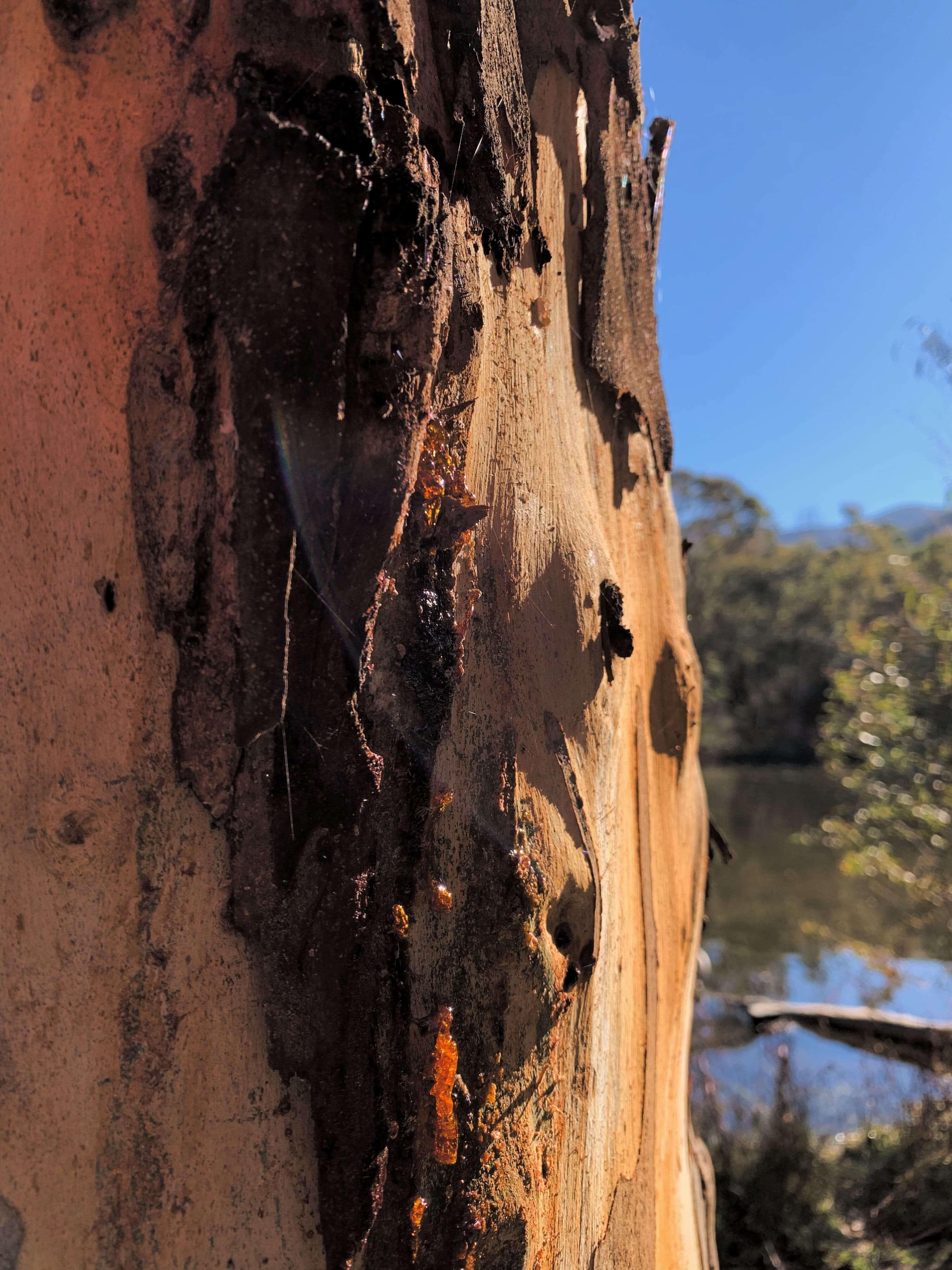 crystalised gum on a eucalptus tree - Tidbinbilla Nature Reserve, Canberra
