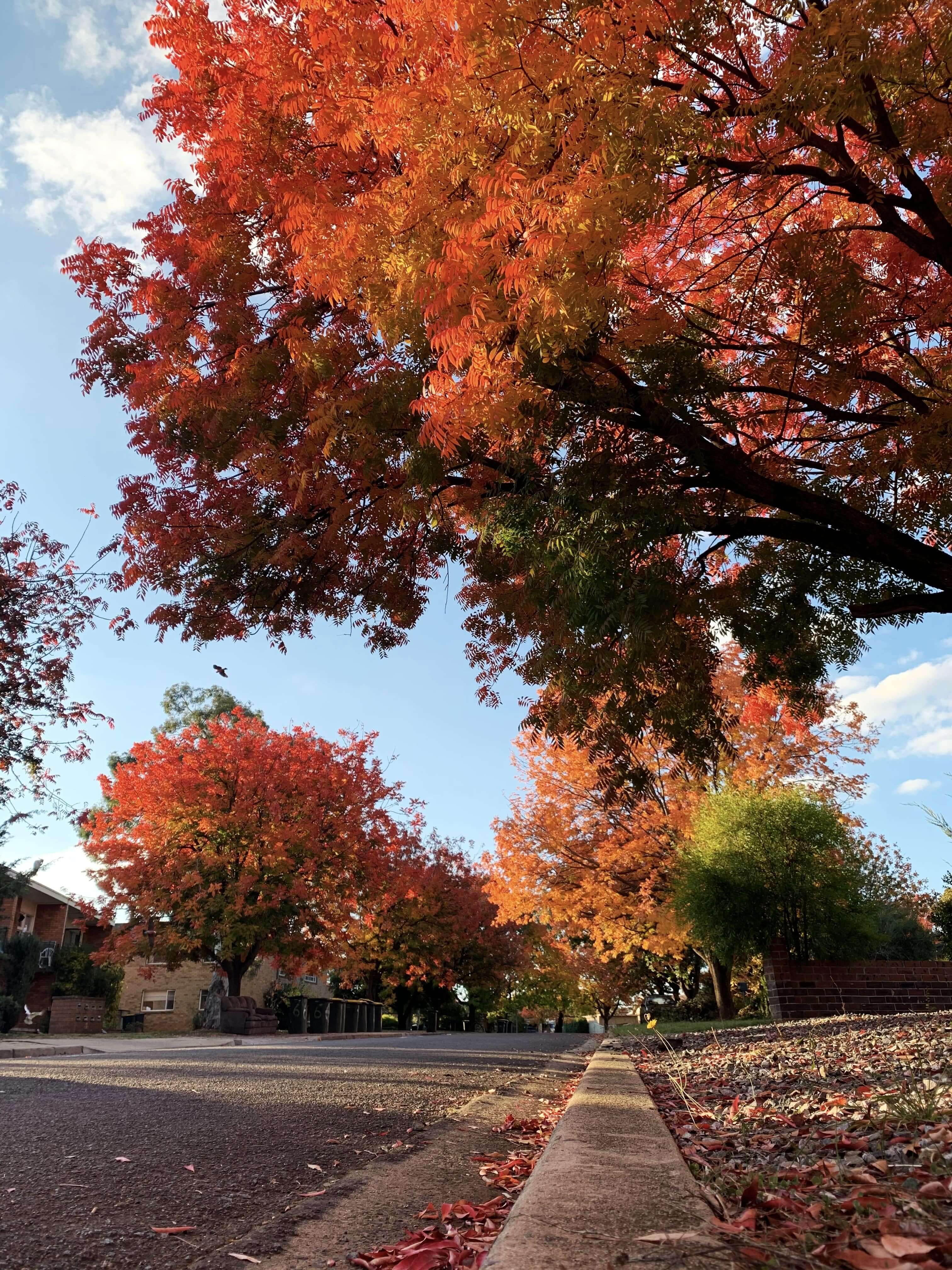 photo of a sidewalk lined with reddish-orange autumn trees