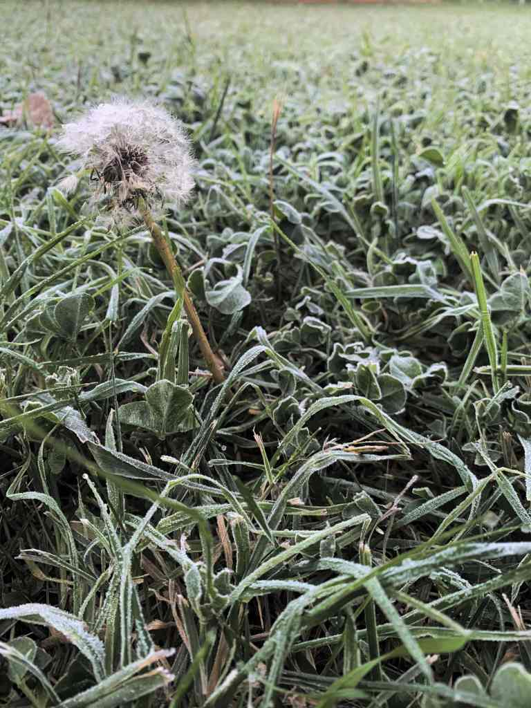 image of dew on grass and a dandelion, Canberra
