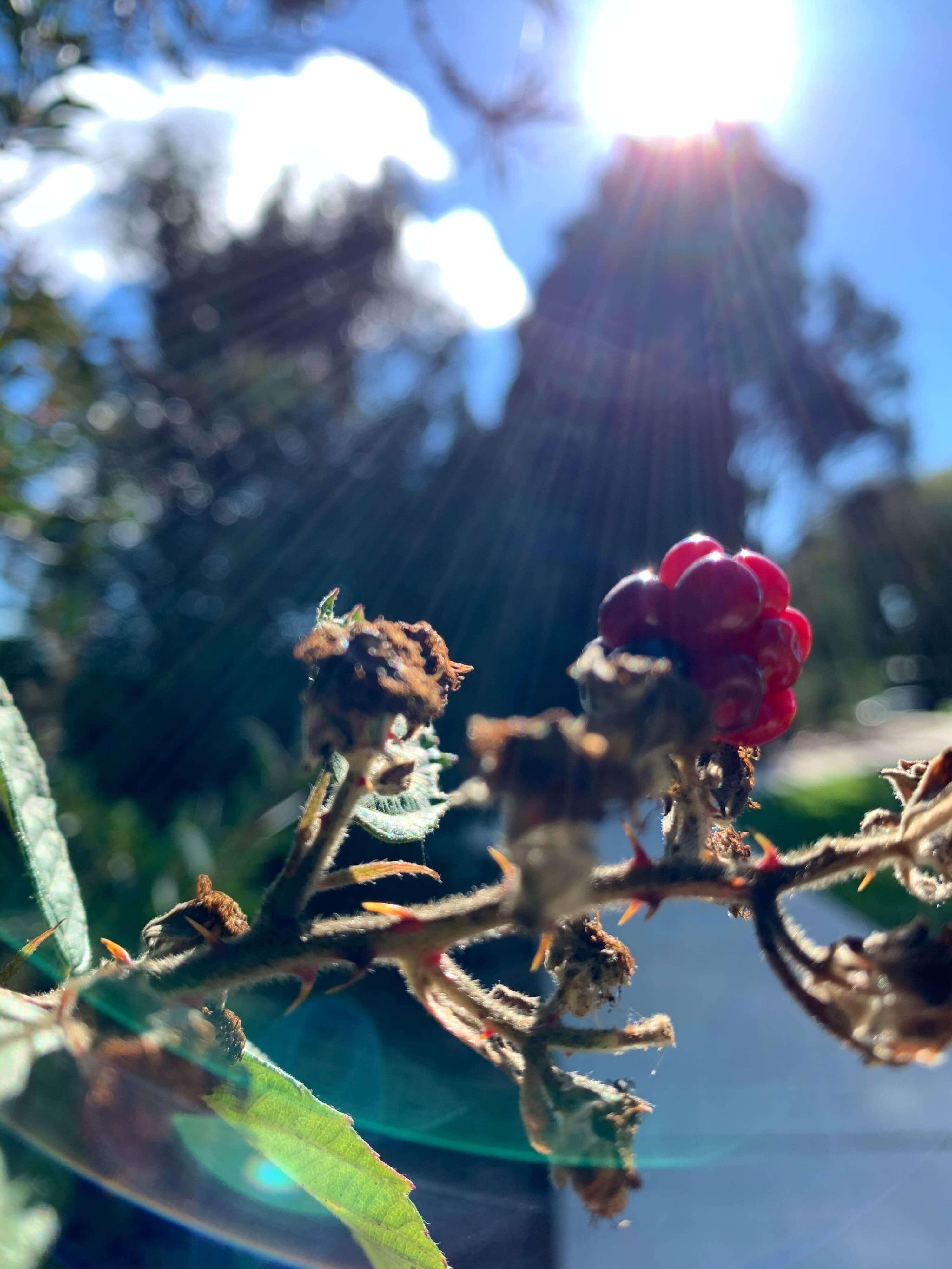 sunlight reflecting on a raspberry bush