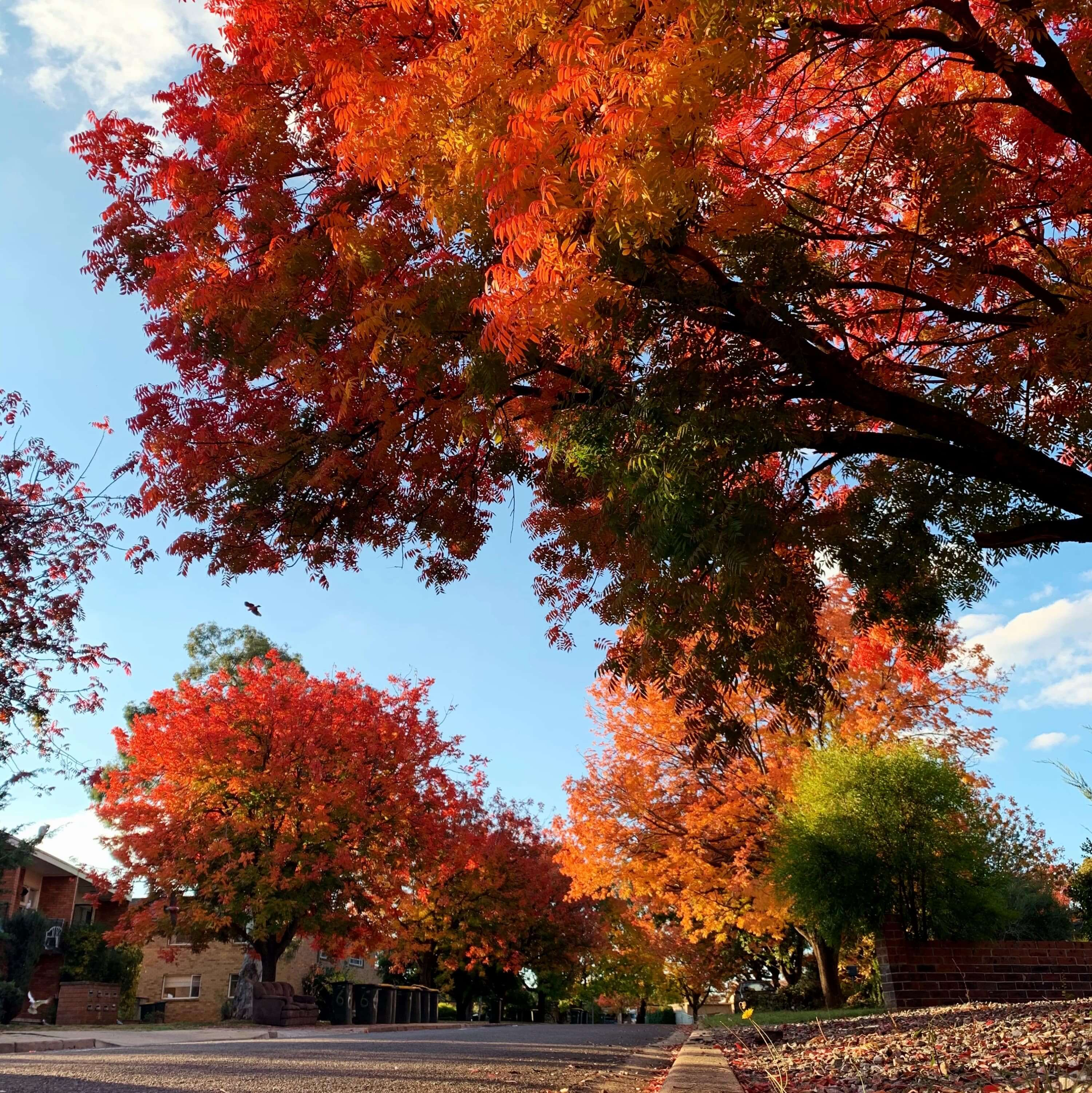 photo of autumn leaves in Canberra