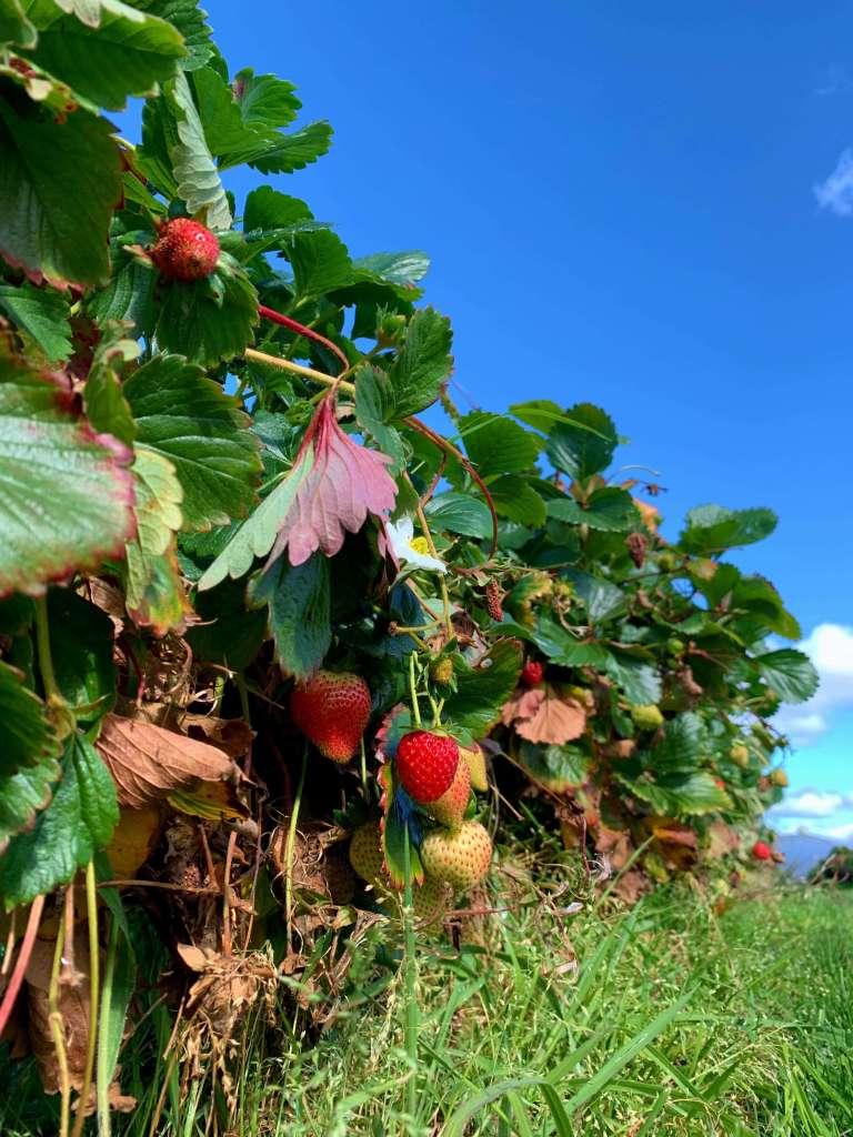 closeup photo of a strawberry bush, Hillwood Berry Farm, Tasmania