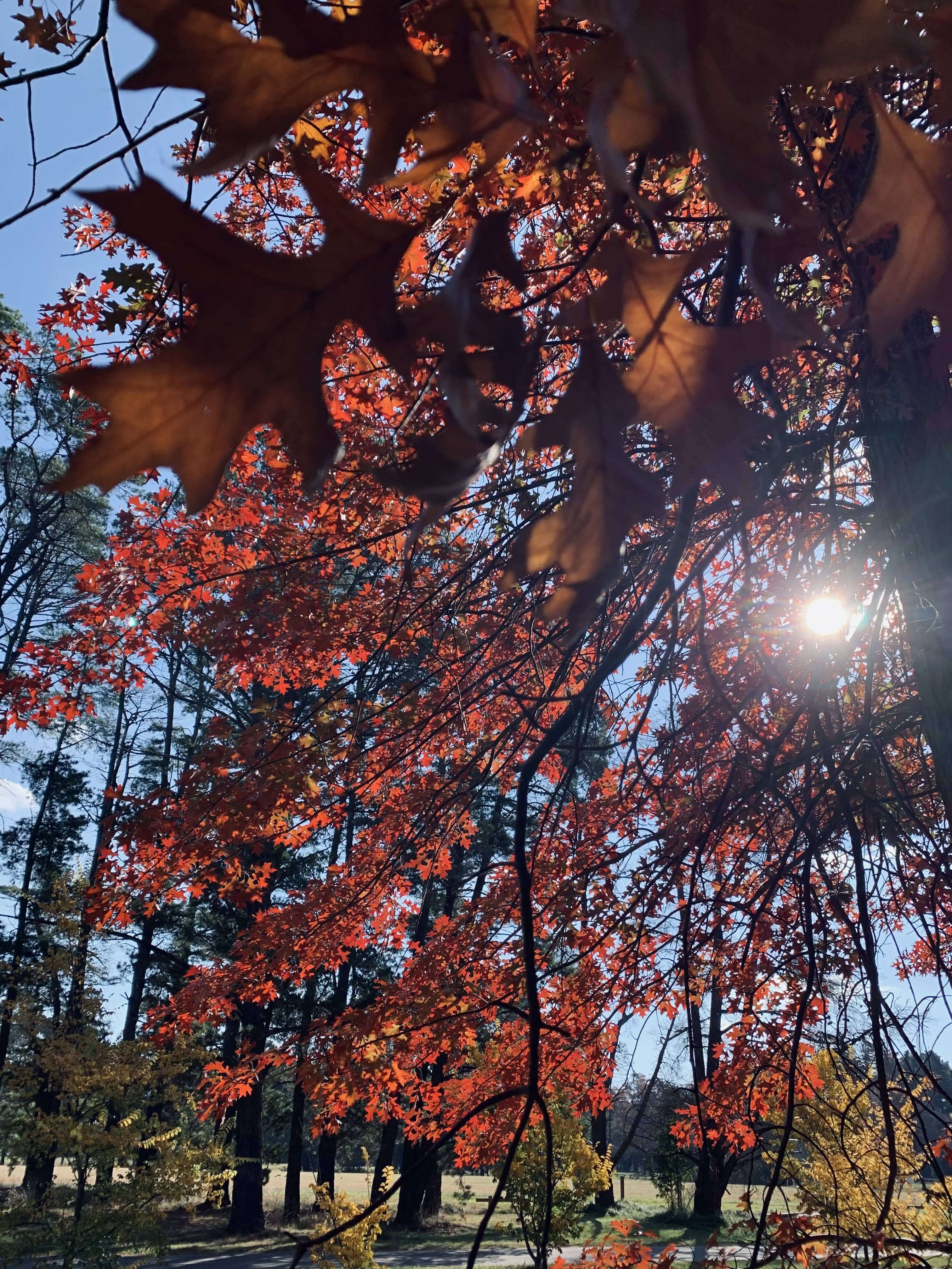 photo of the sun shining through autumn leaves