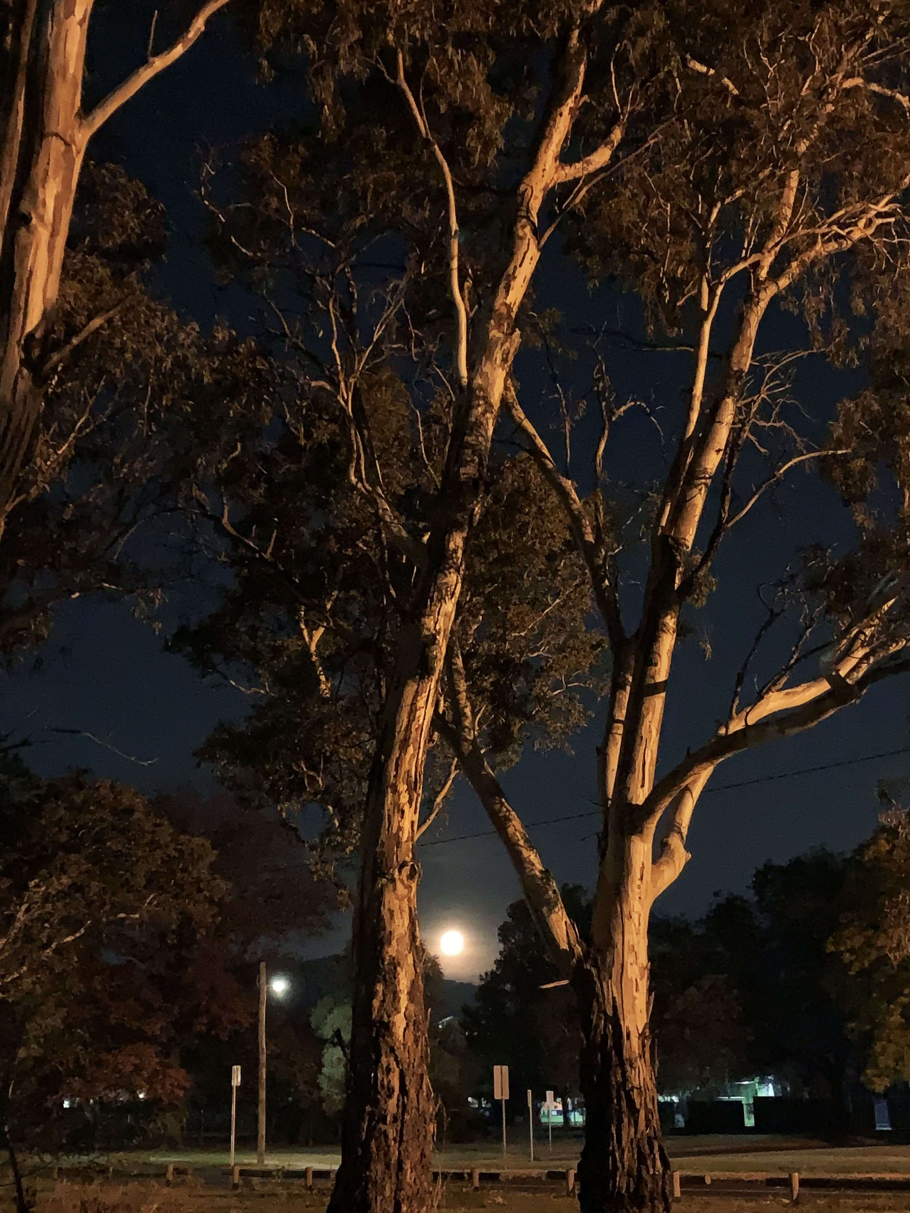 the full moon, as seen between two eucalypt tree barks