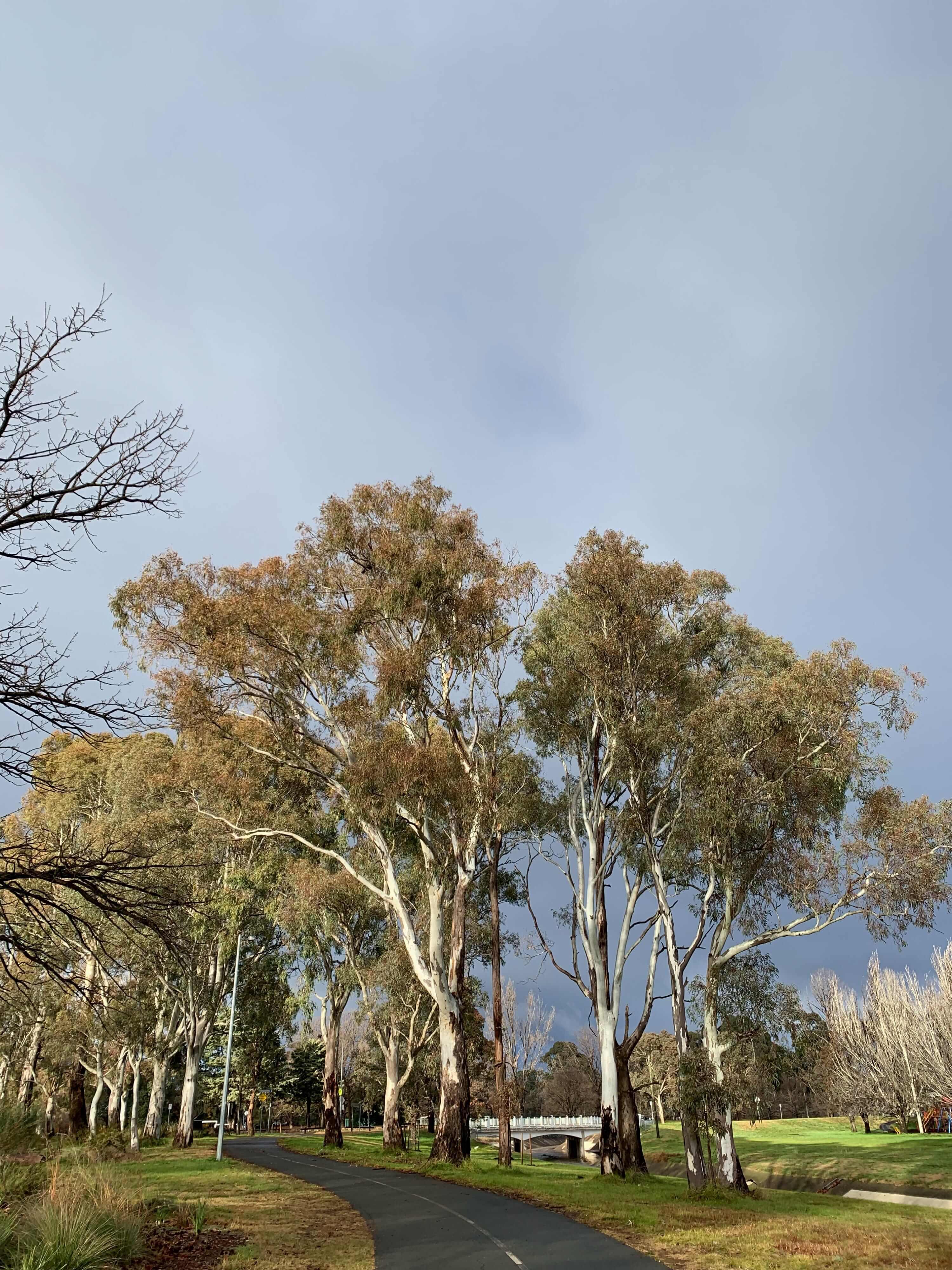 eucalyptus trees with the morning sun shining on them