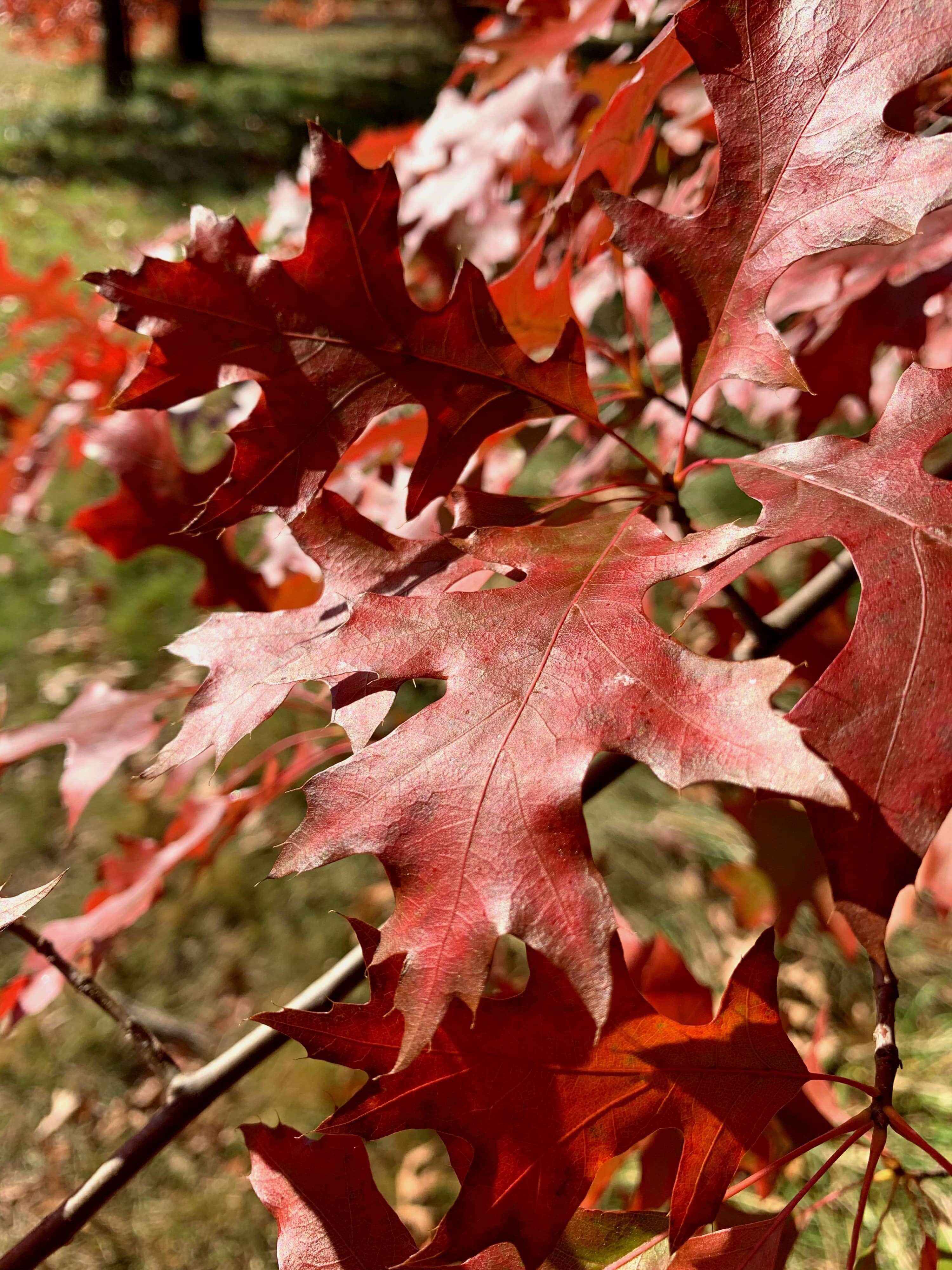 close up photo of reddish-brown autumn leaves on a tree