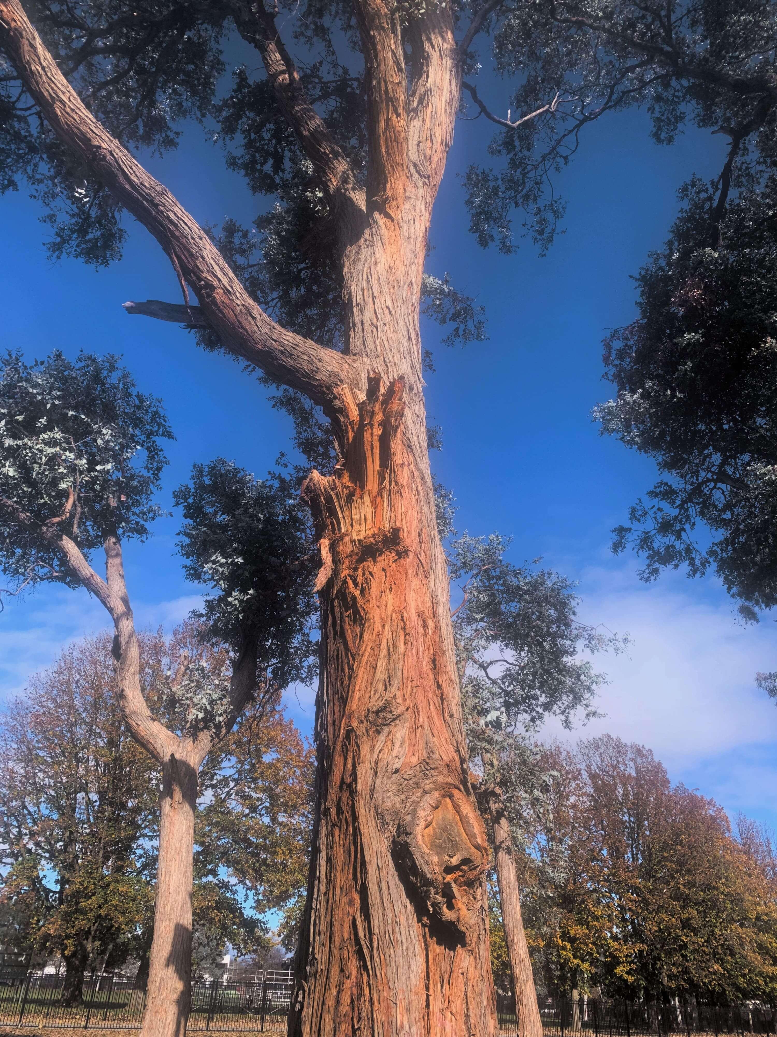 photo of a eucalyptus tree bark