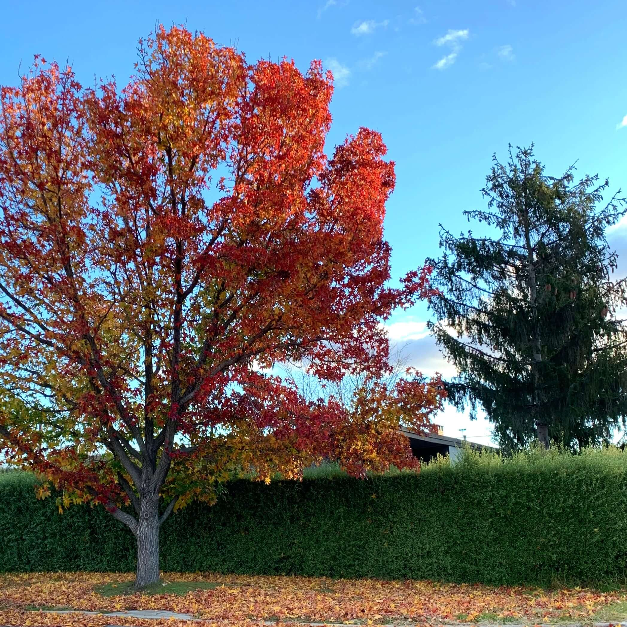 photo of an autum tree with a pool of brown and red leaves around it, taken in the second week of winter