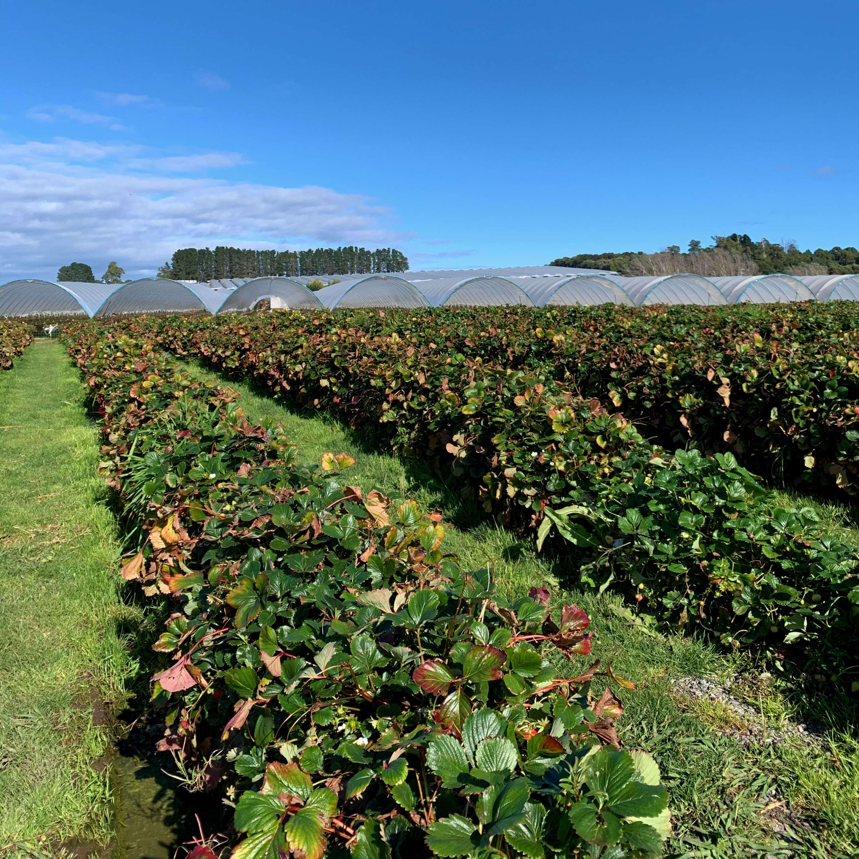 strawberry bushes in the sunlight, Hillwood Berry Farm, Launceston, Tasmania