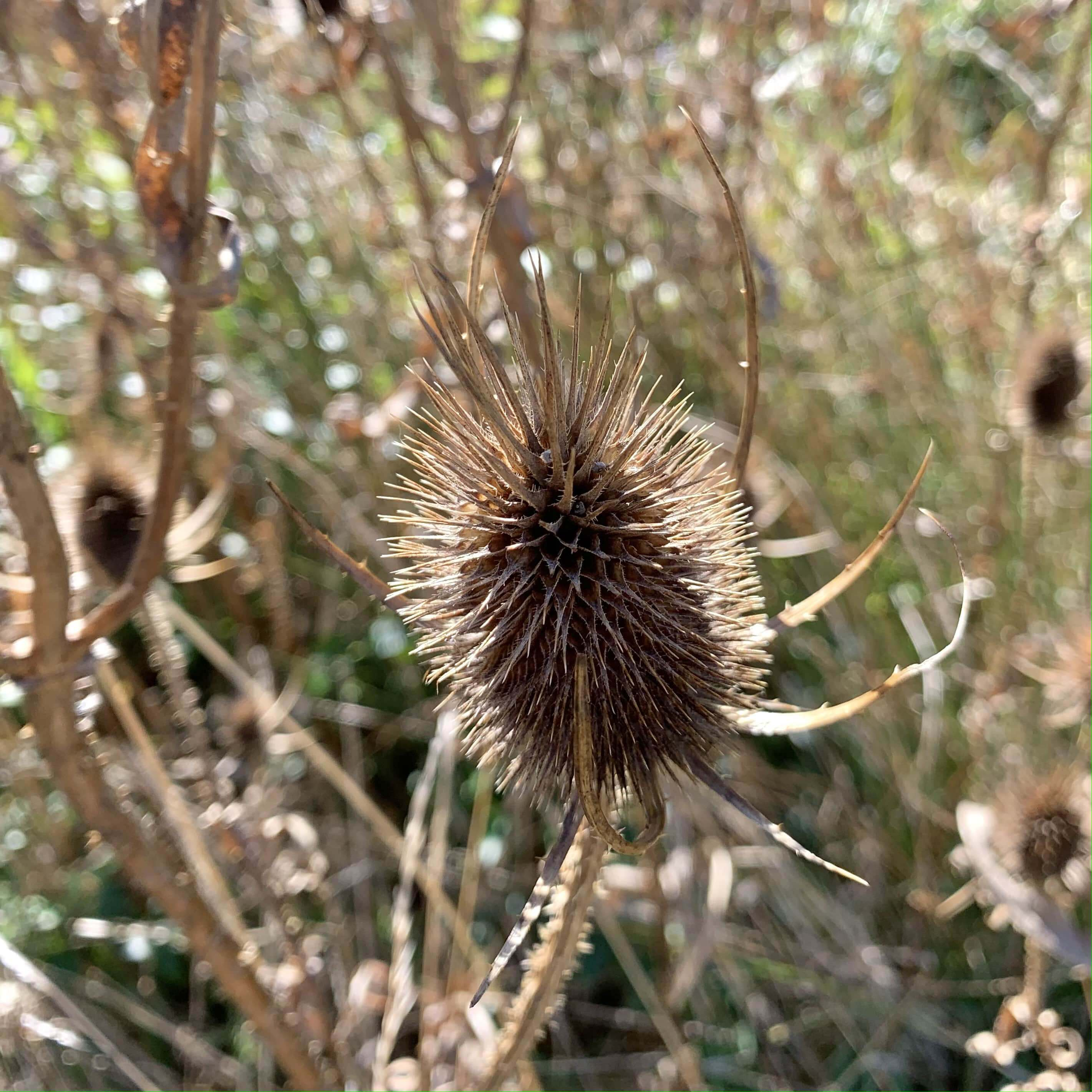 close up photo of a spiky plant