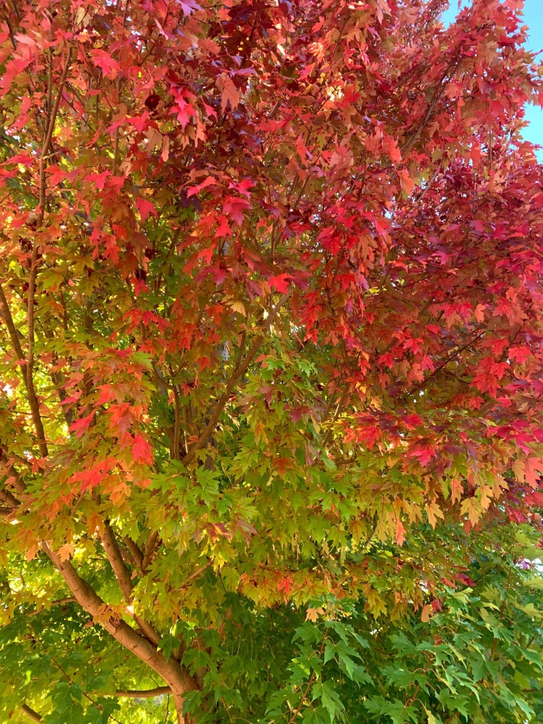 A photo of a tree in autumn, with green, red, and shades of yellow leaves.