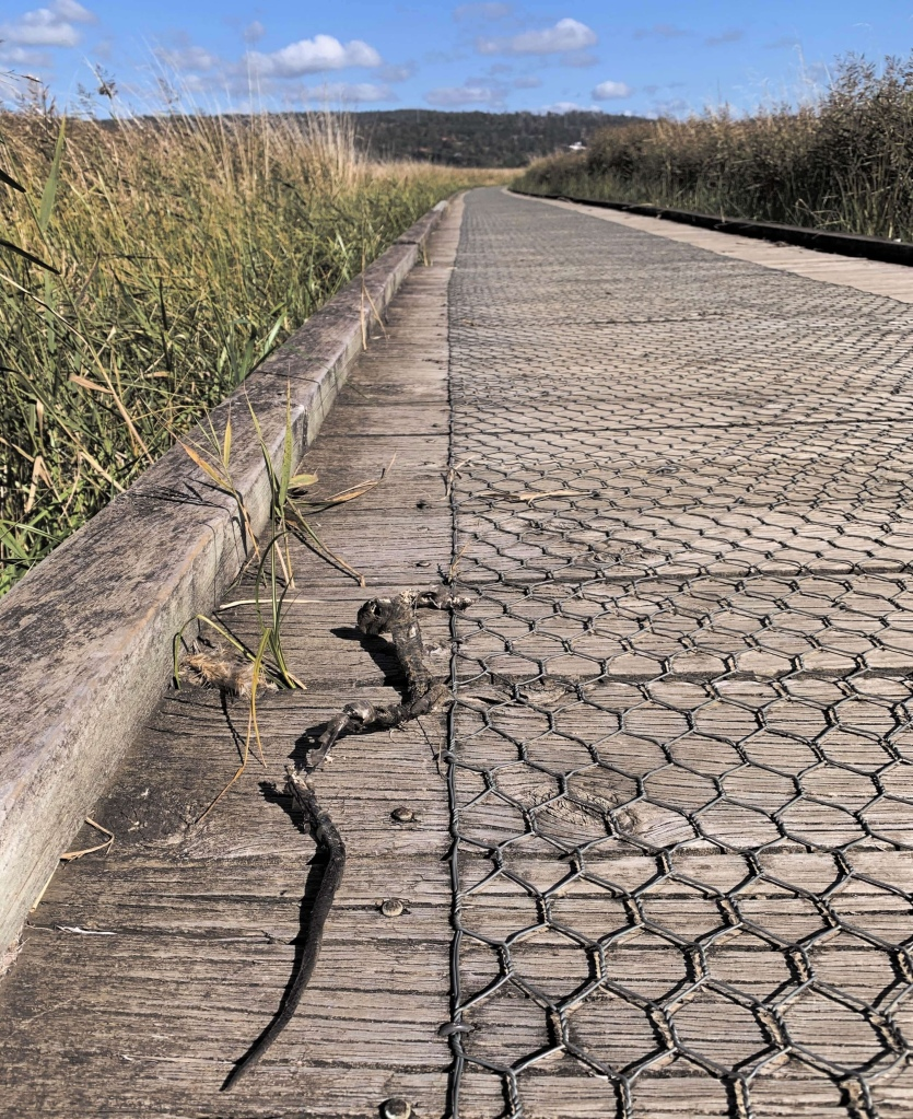 Photo of a snakeskin discarded by the side of a wooden walkway over the Tamar river