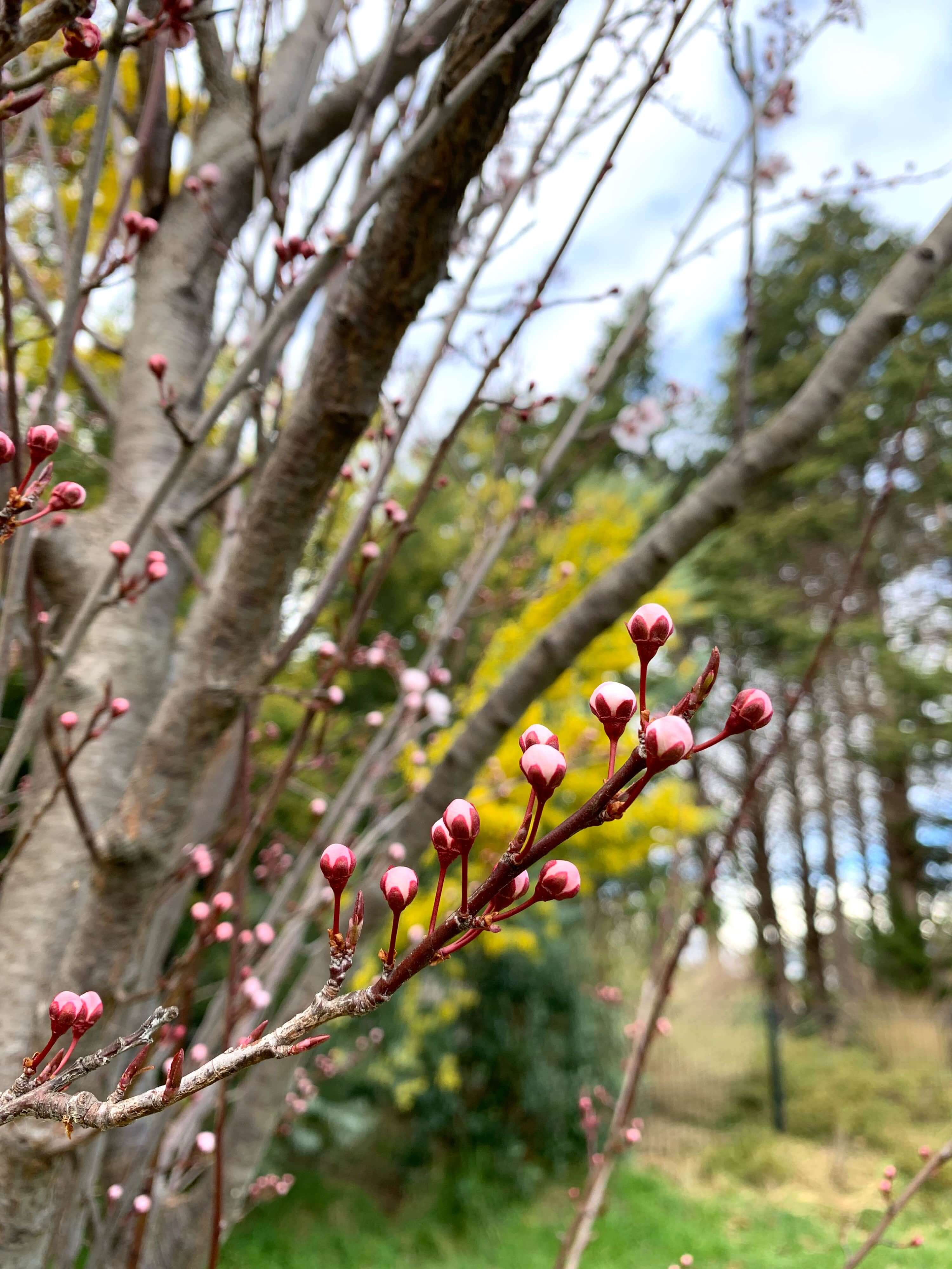 pink blossom buds with a blurry yellow wattle tree in the background