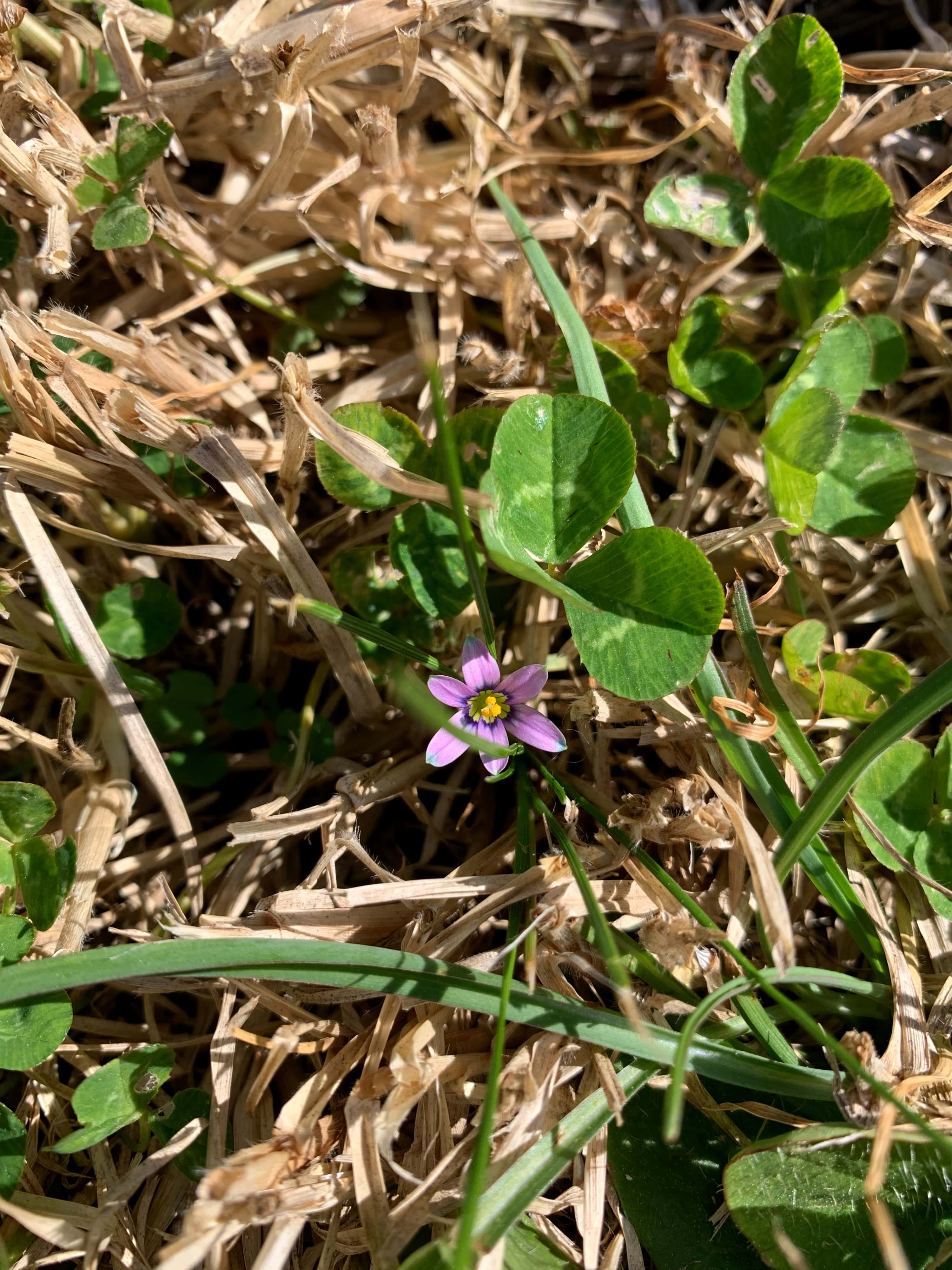 photo of a tiny flower in the ground, surrounded by dry and fresh grass