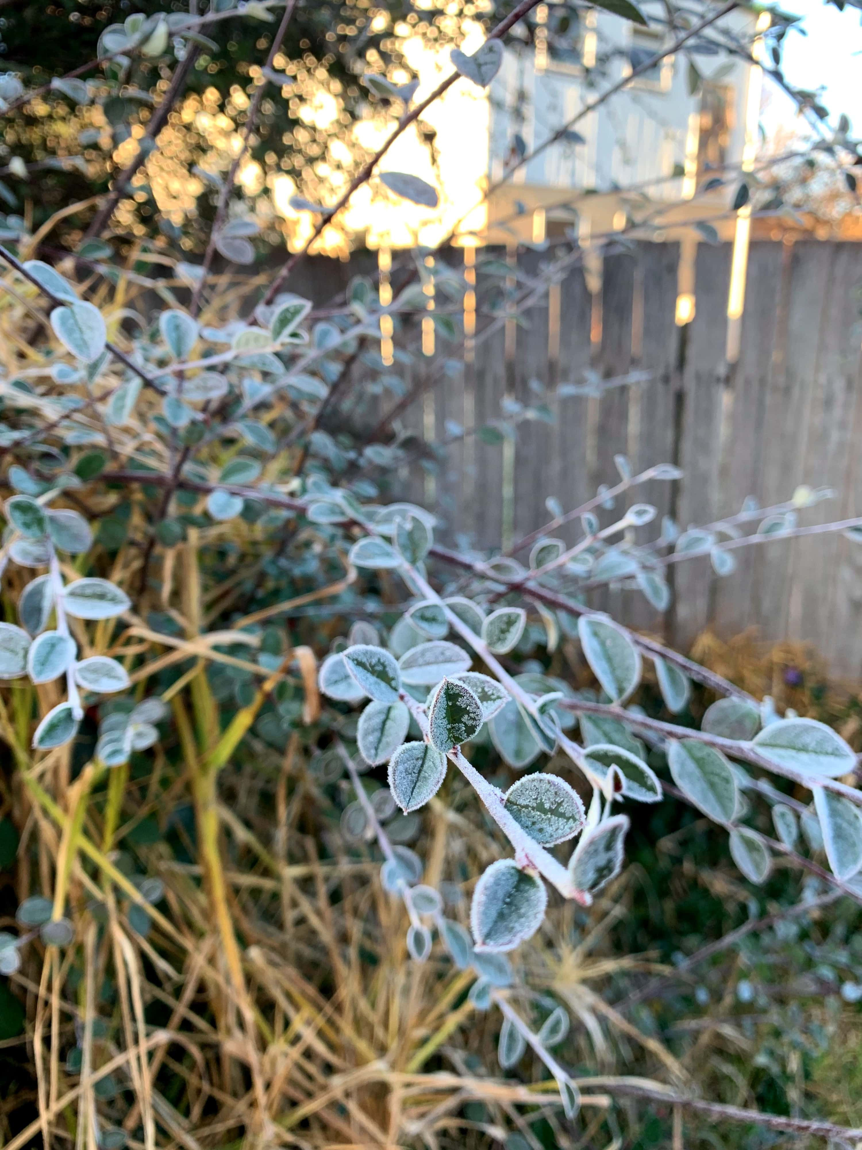 closeup photo of early morning frost on the leaves of a bush