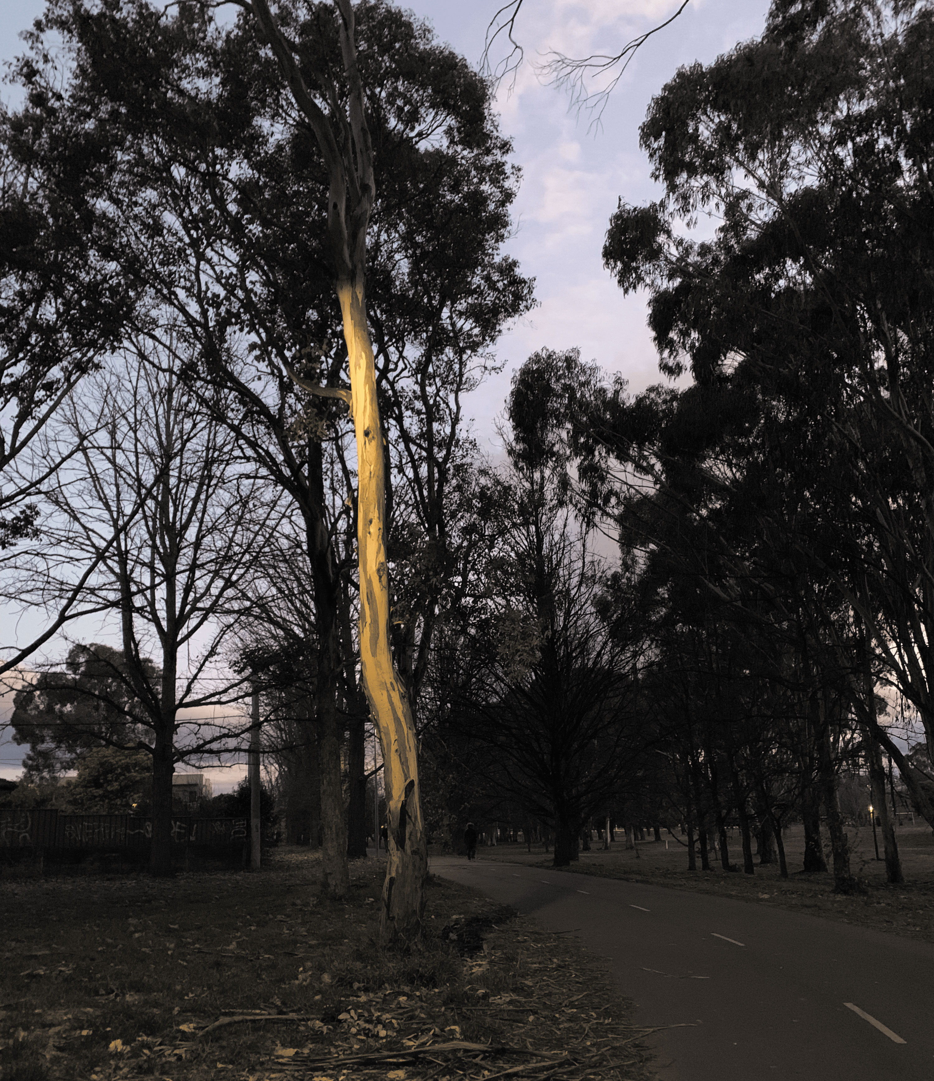 photo of a gumtree with a sweet light reflecting in its peeling bark