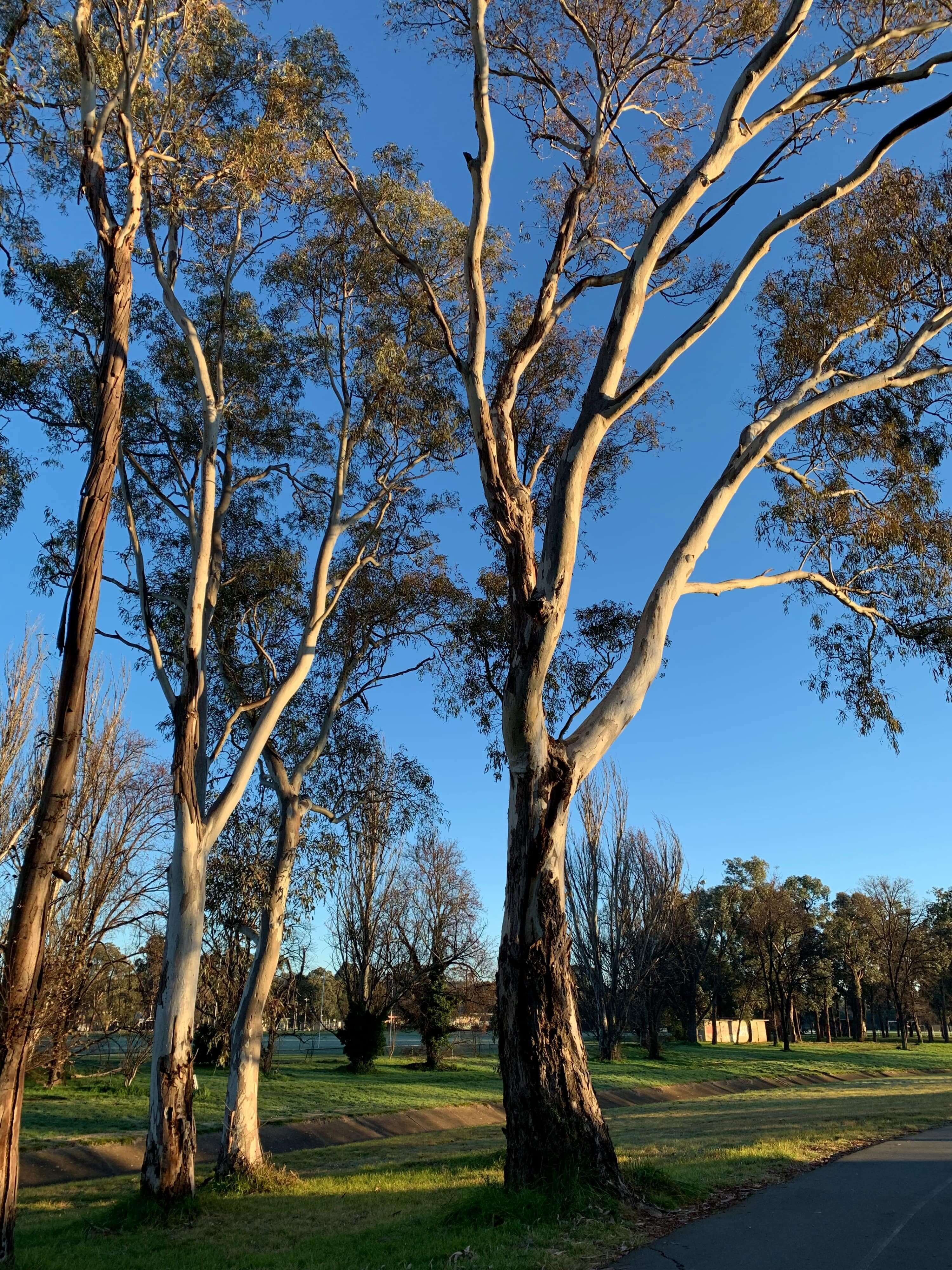 first rays of snshine on gum trees