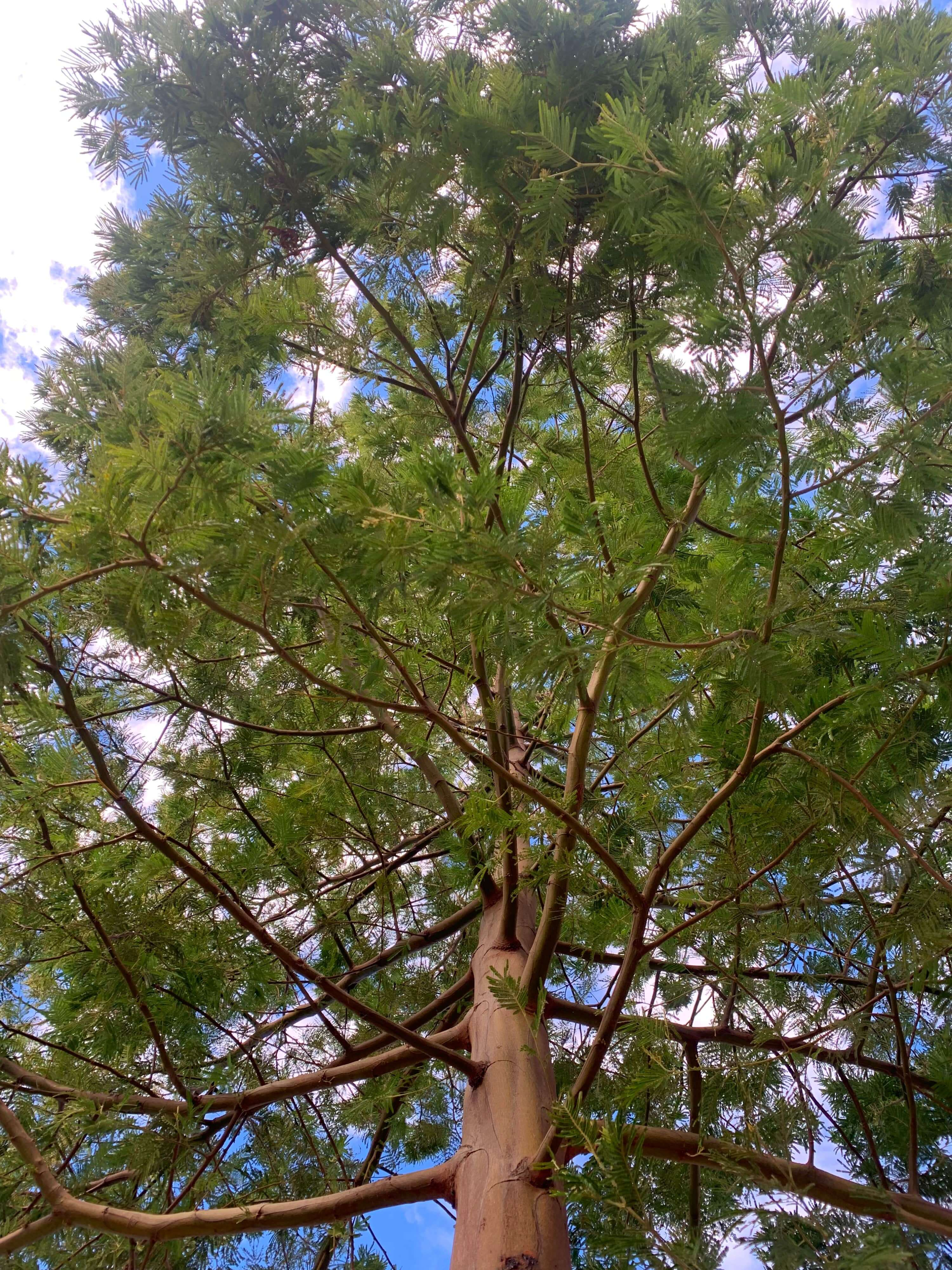 photo of a tree's branches spreading out, as seen from below