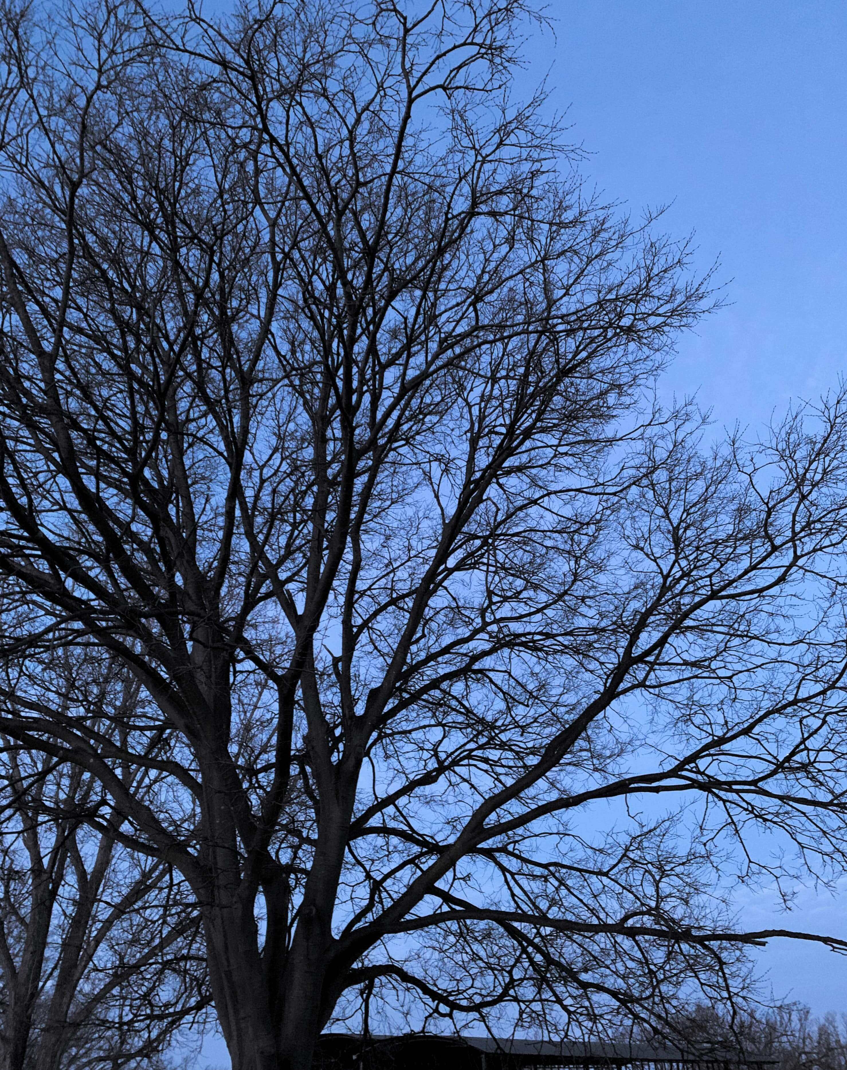 photo of a tree without leaves, its branches against a blue sky